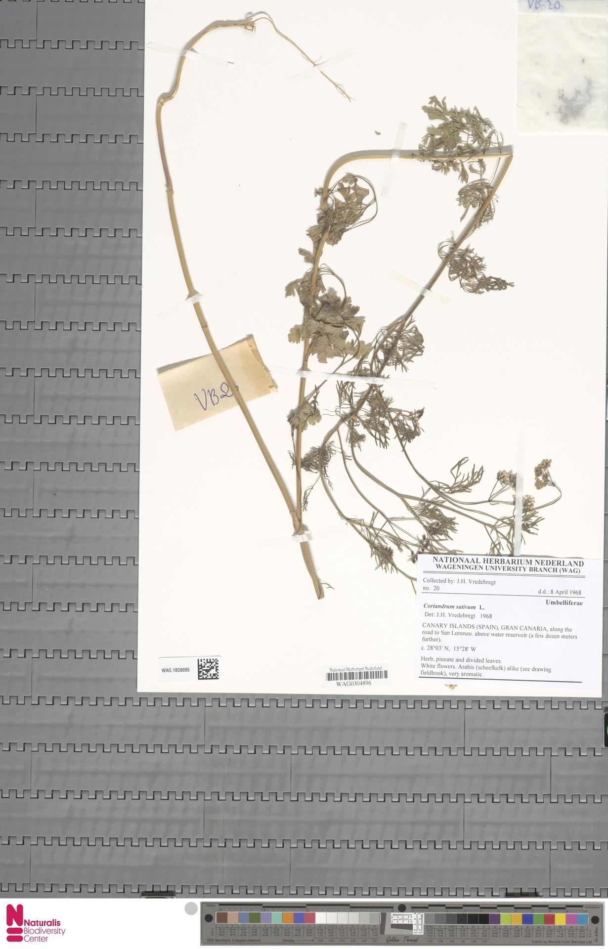 WAG.1858695 | Coriandrum sativum L.