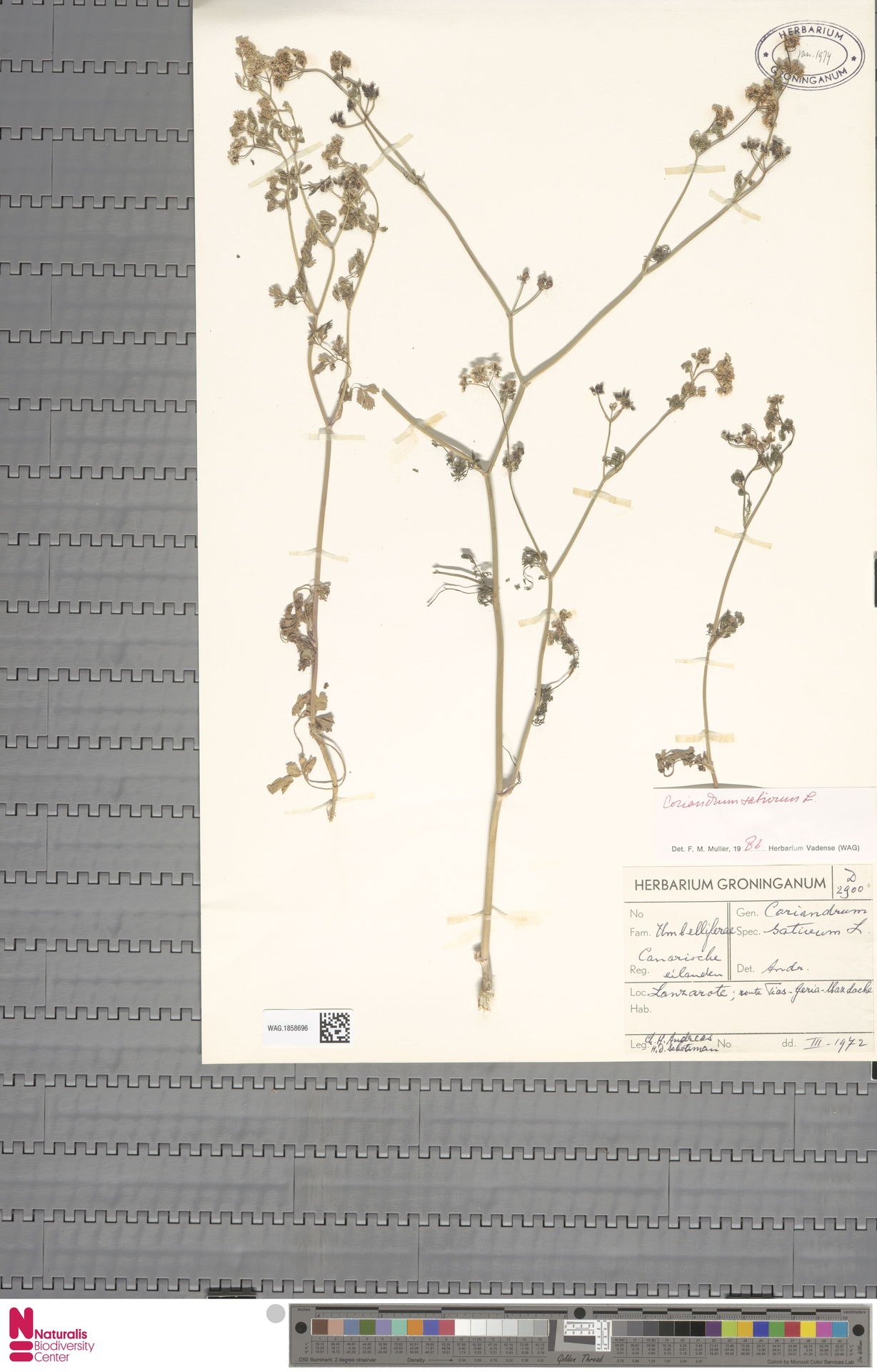 WAG.1858696 | Coriandrum sativum L.