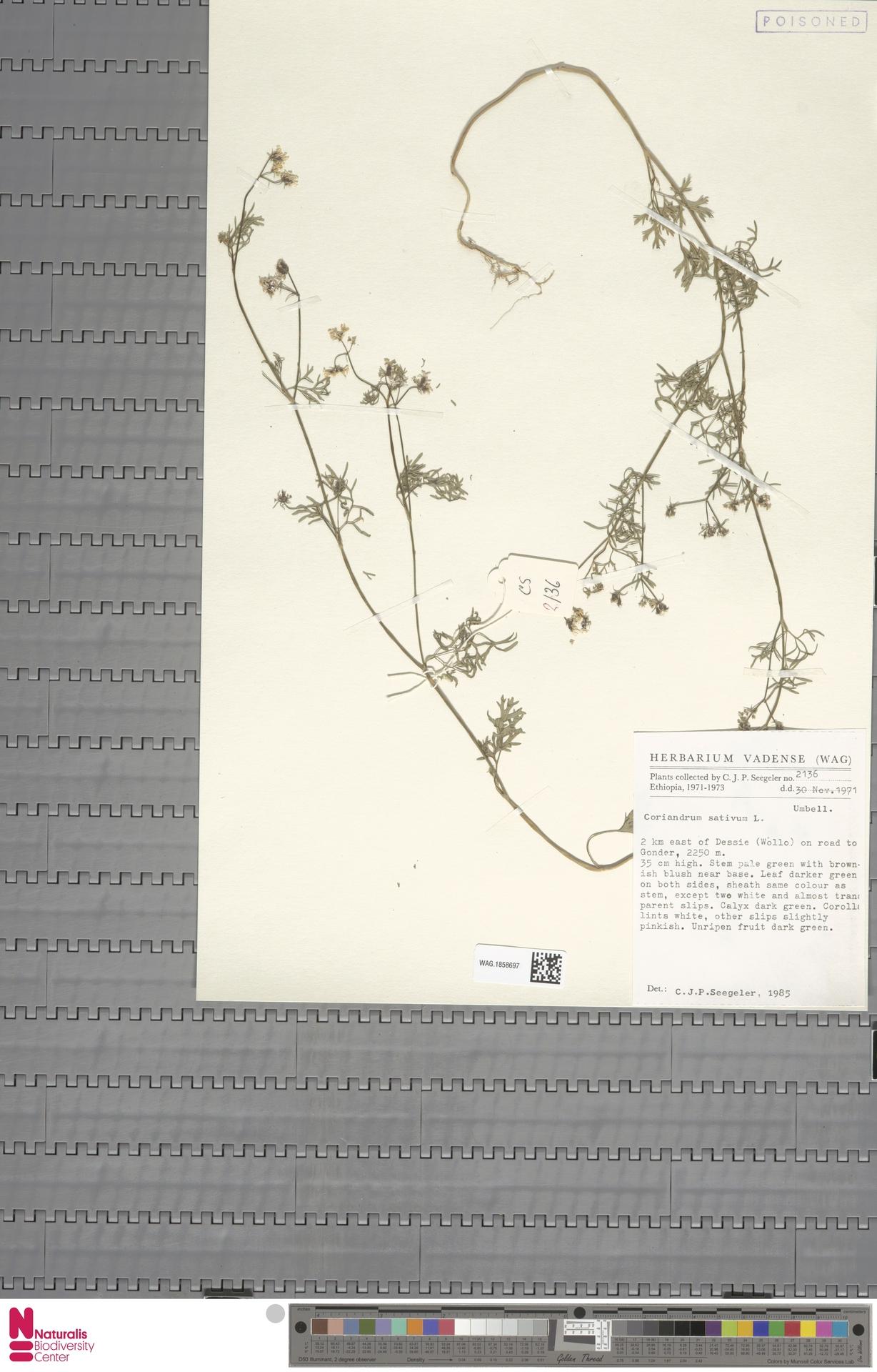 WAG.1858697 | Coriandrum sativum L.
