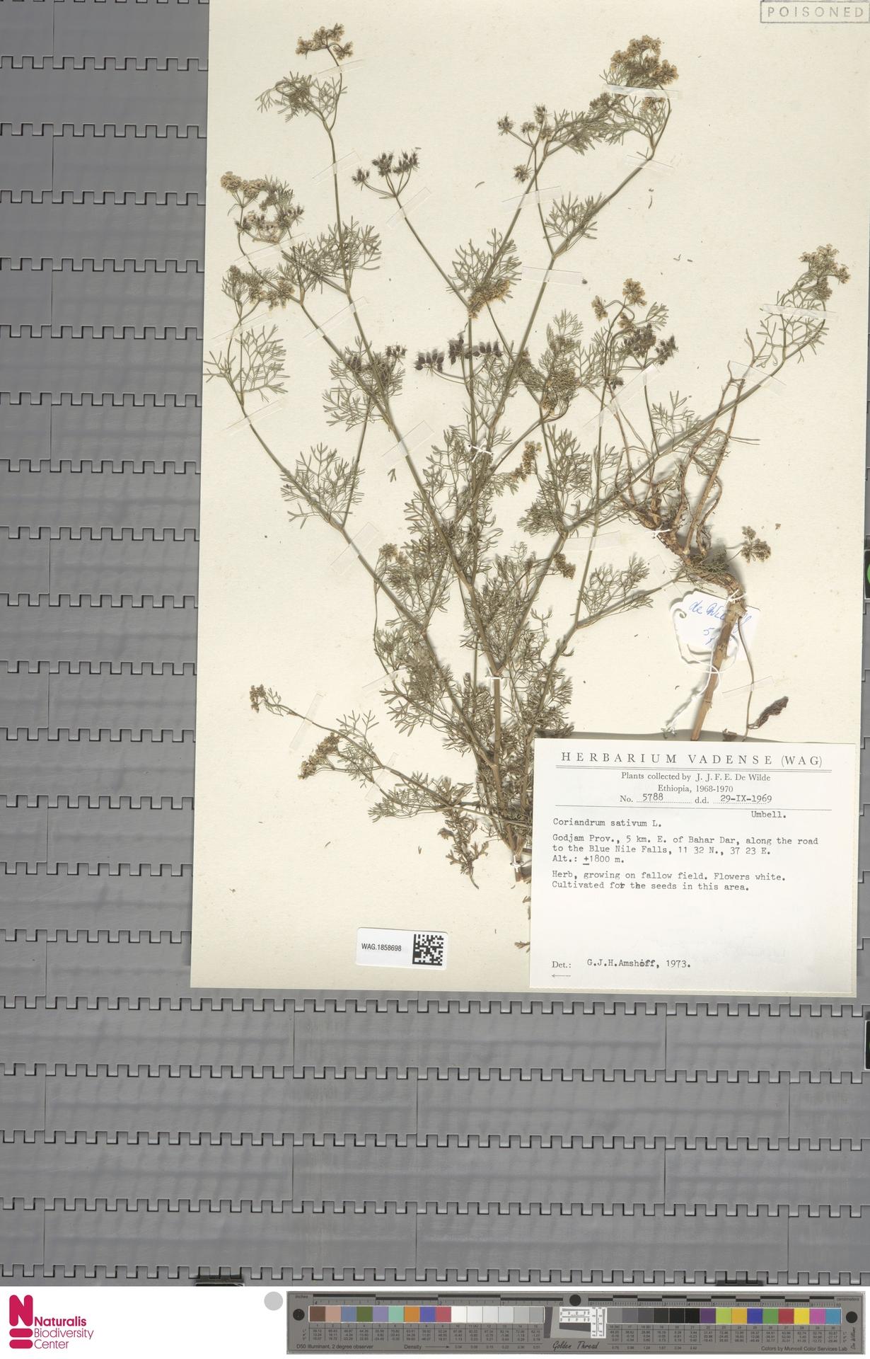 WAG.1858698 | Coriandrum sativum L.