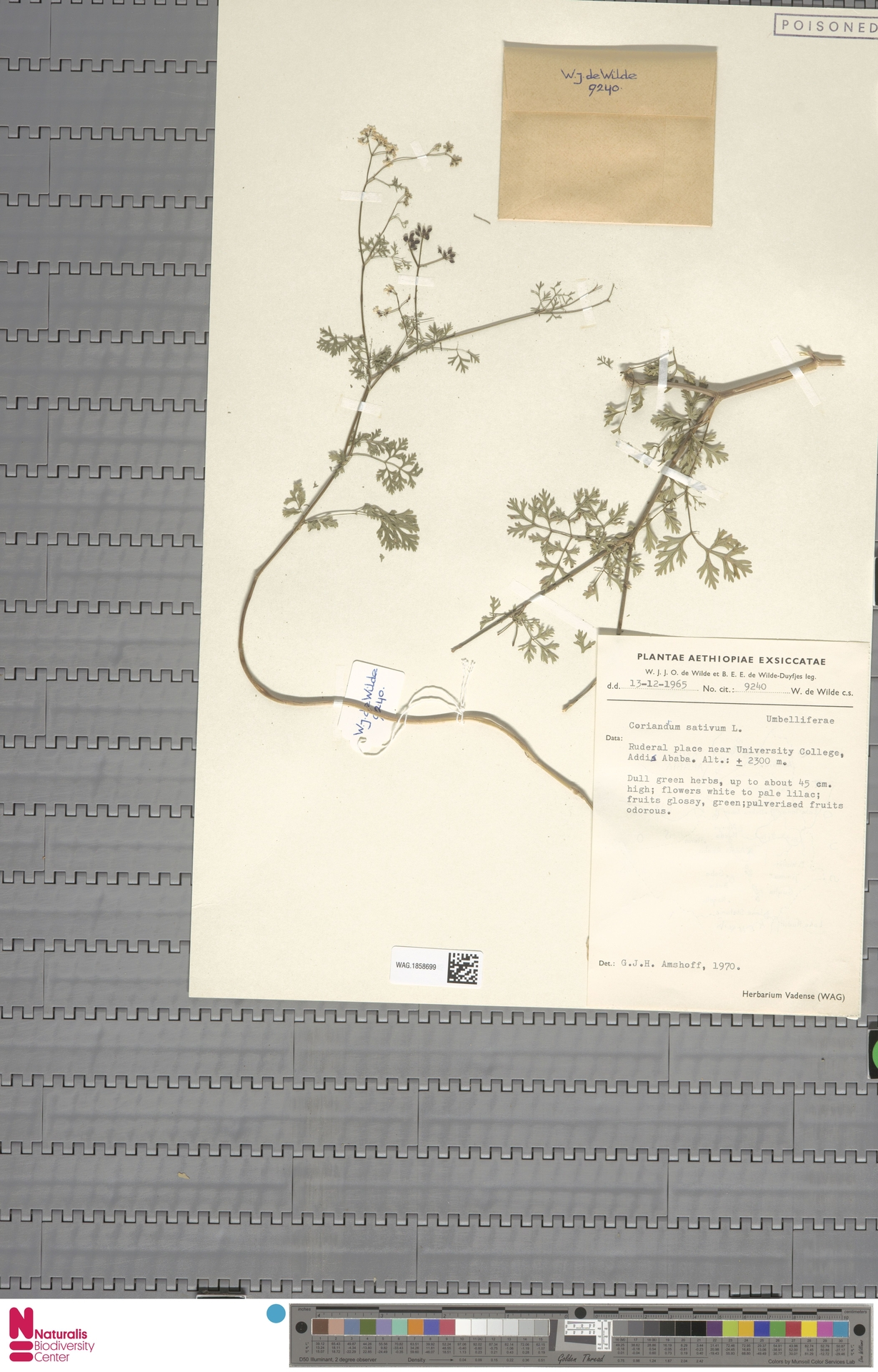 WAG.1858699 | Coriandrum sativum L.