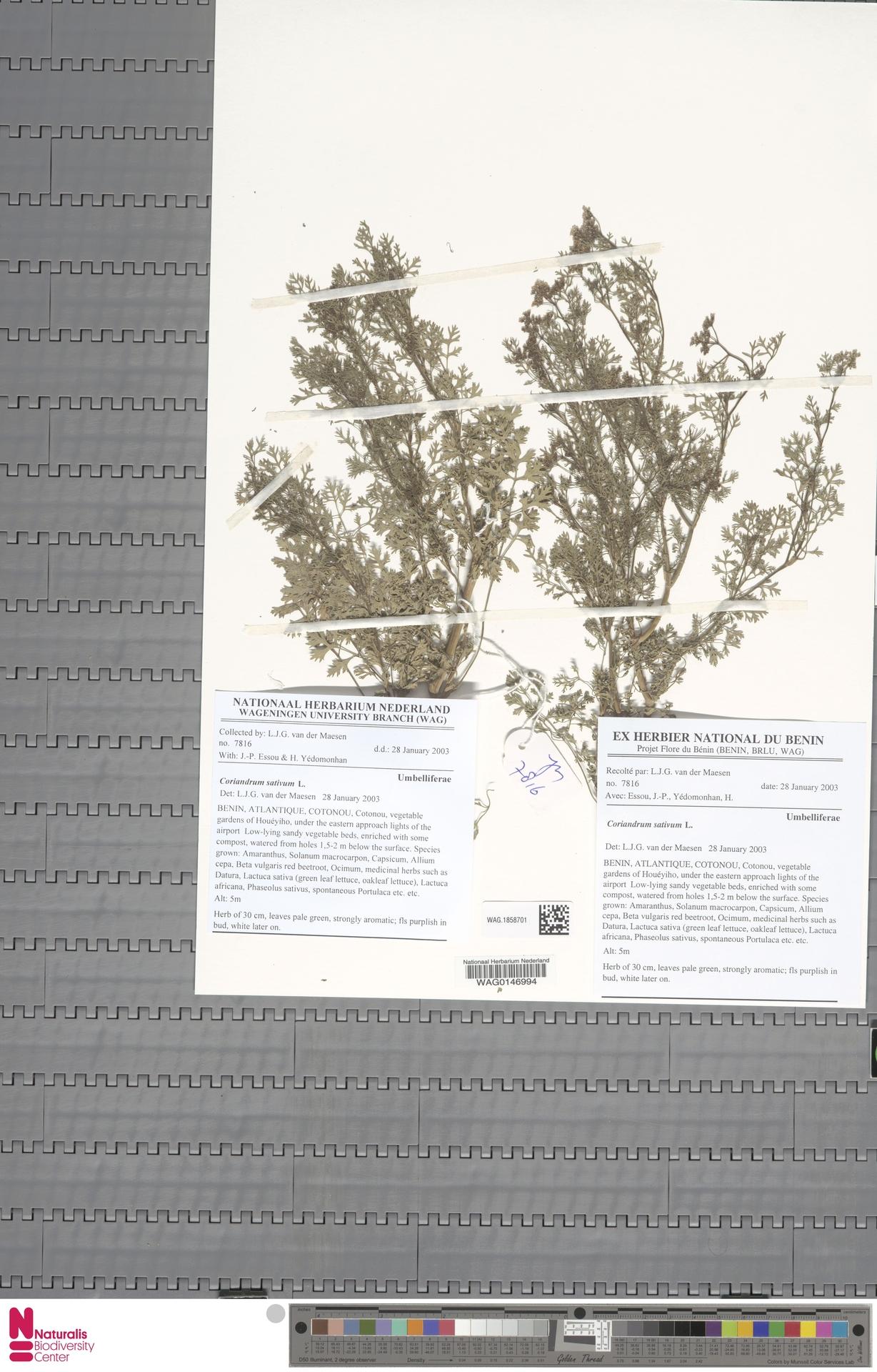 WAG.1858701 | Coriandrum sativum L.