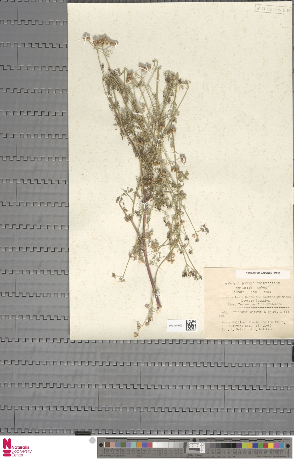 WAG.1858703 | Coriandrum sativum L.