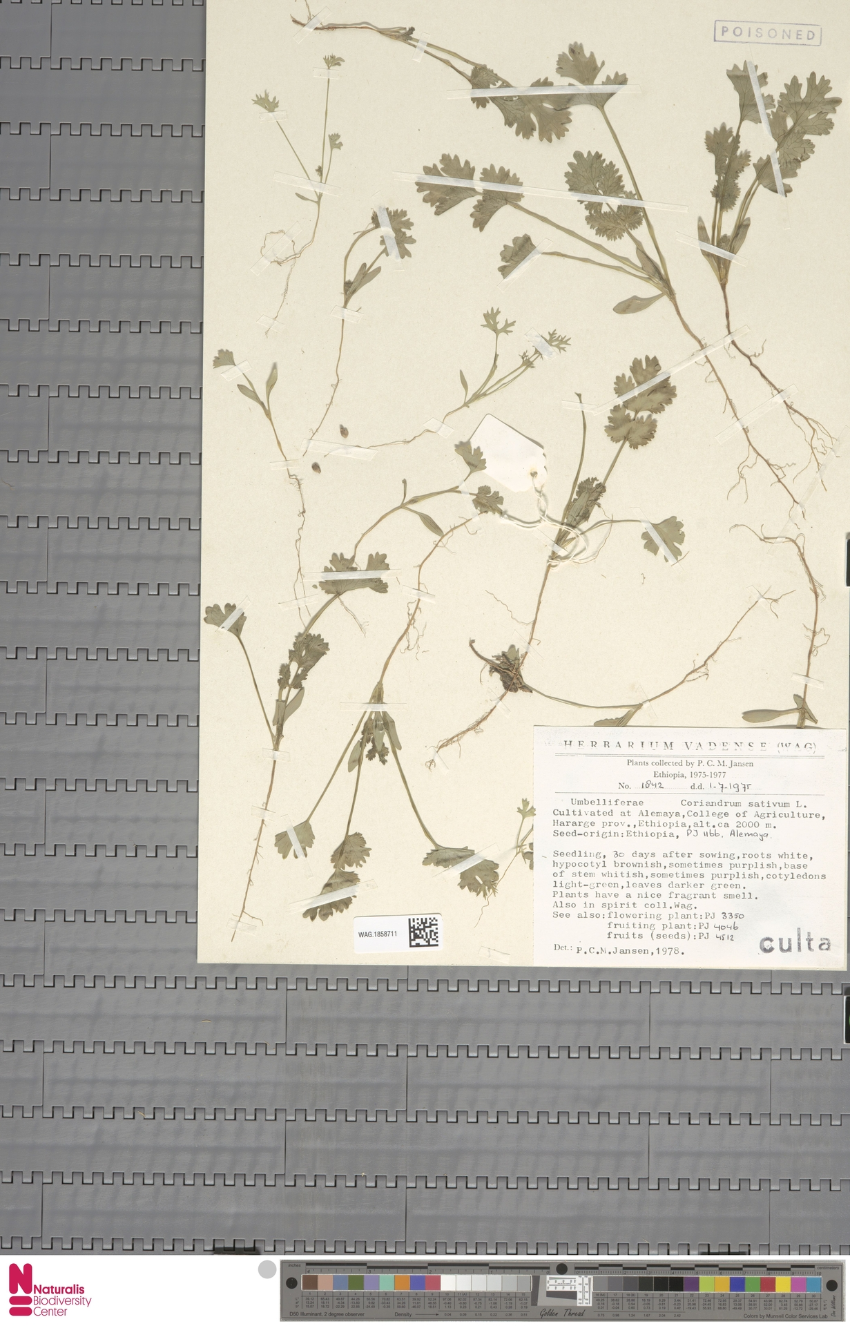 WAG.1858711 | Coriandrum sativum L.