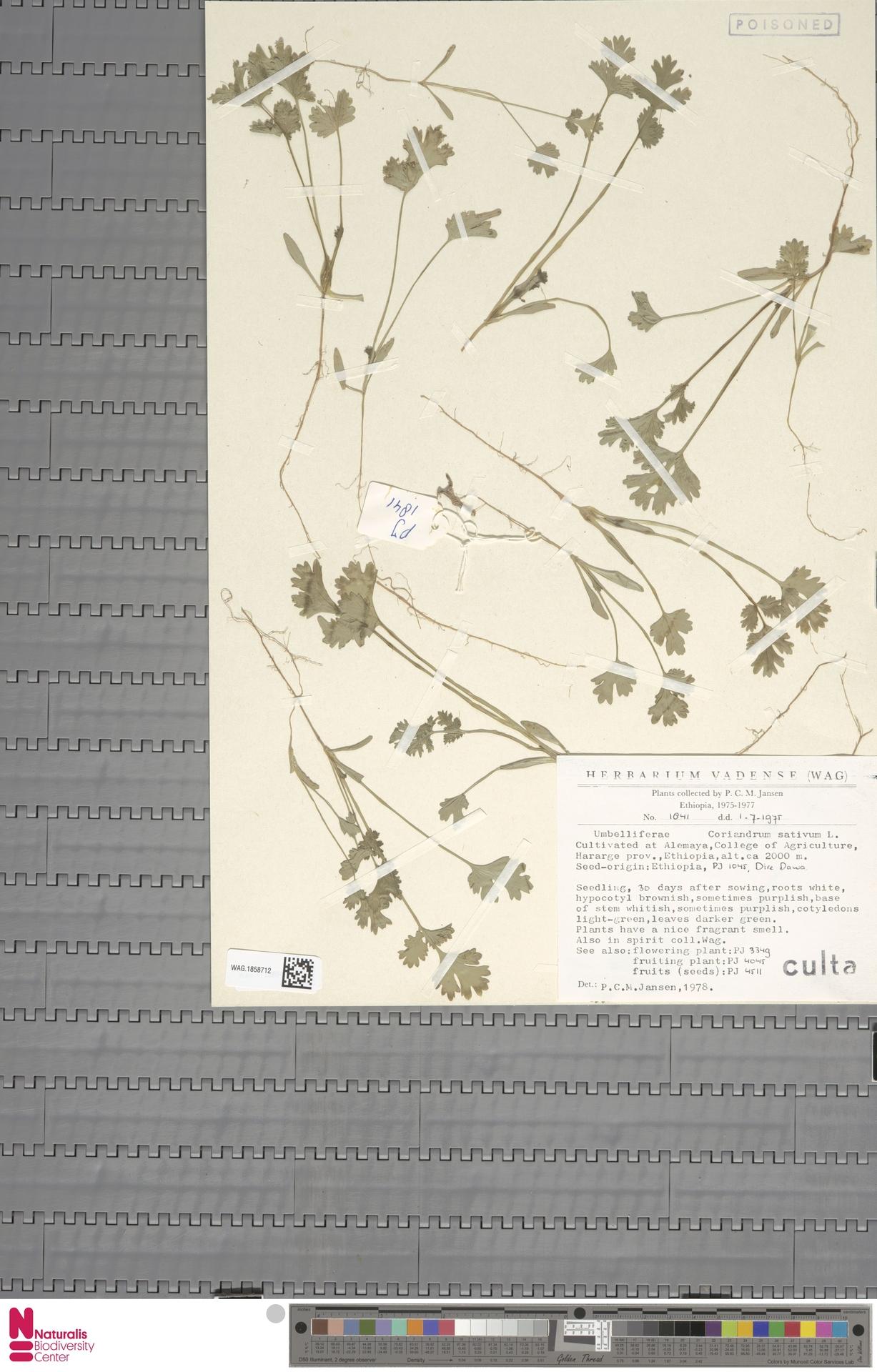 WAG.1858712   Coriandrum sativum L.