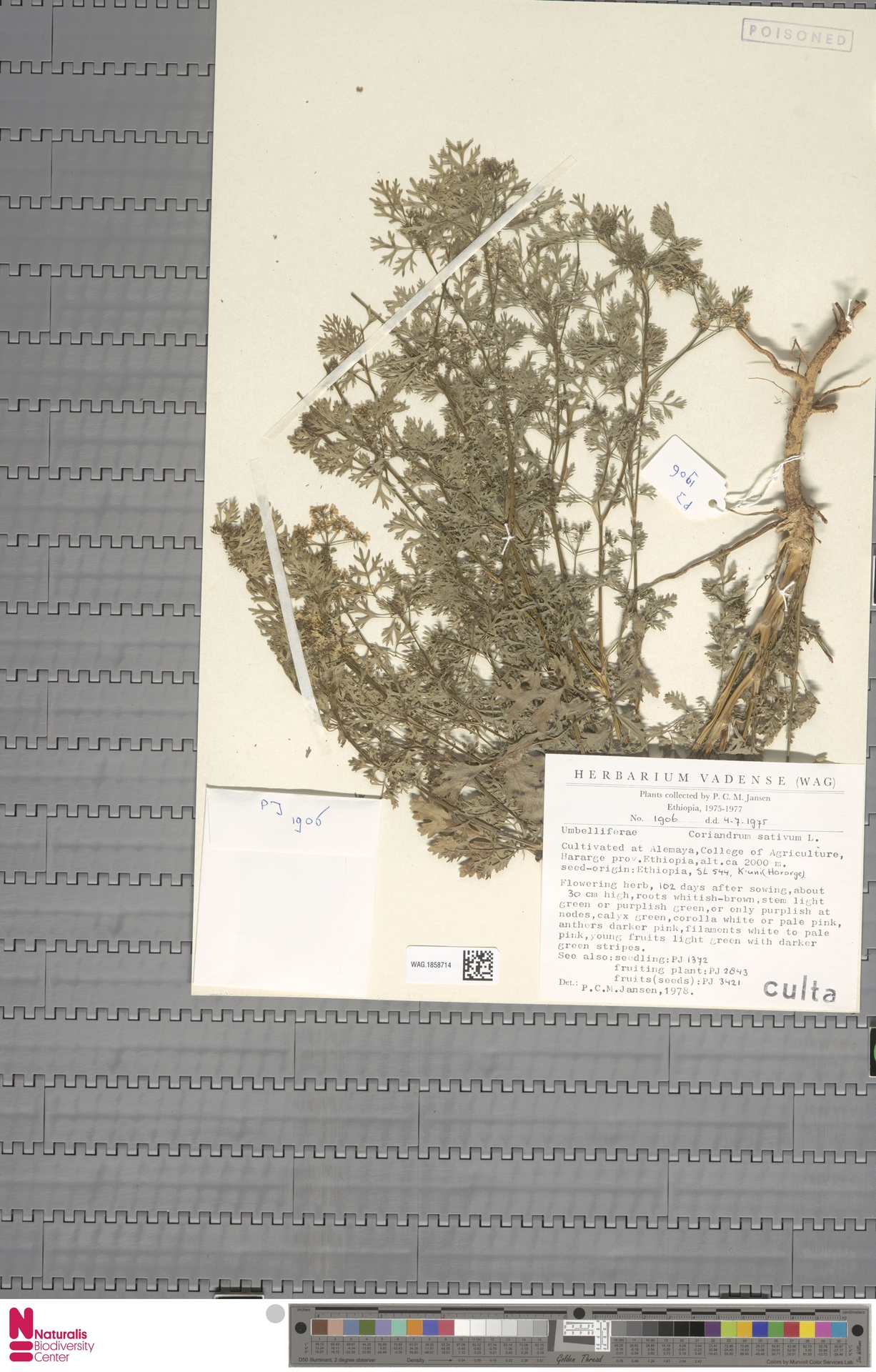 WAG.1858714 | Coriandrum sativum L.