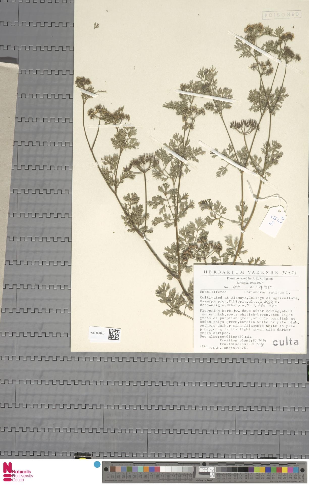 WAG.1858717   Coriandrum sativum L.