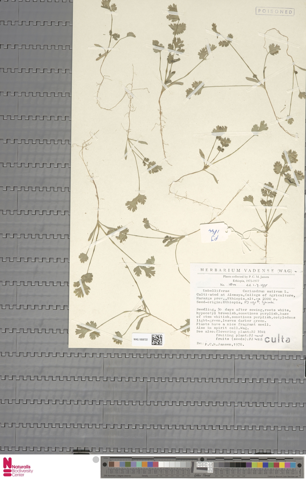 WAG.1858722 | Coriandrum sativum L.