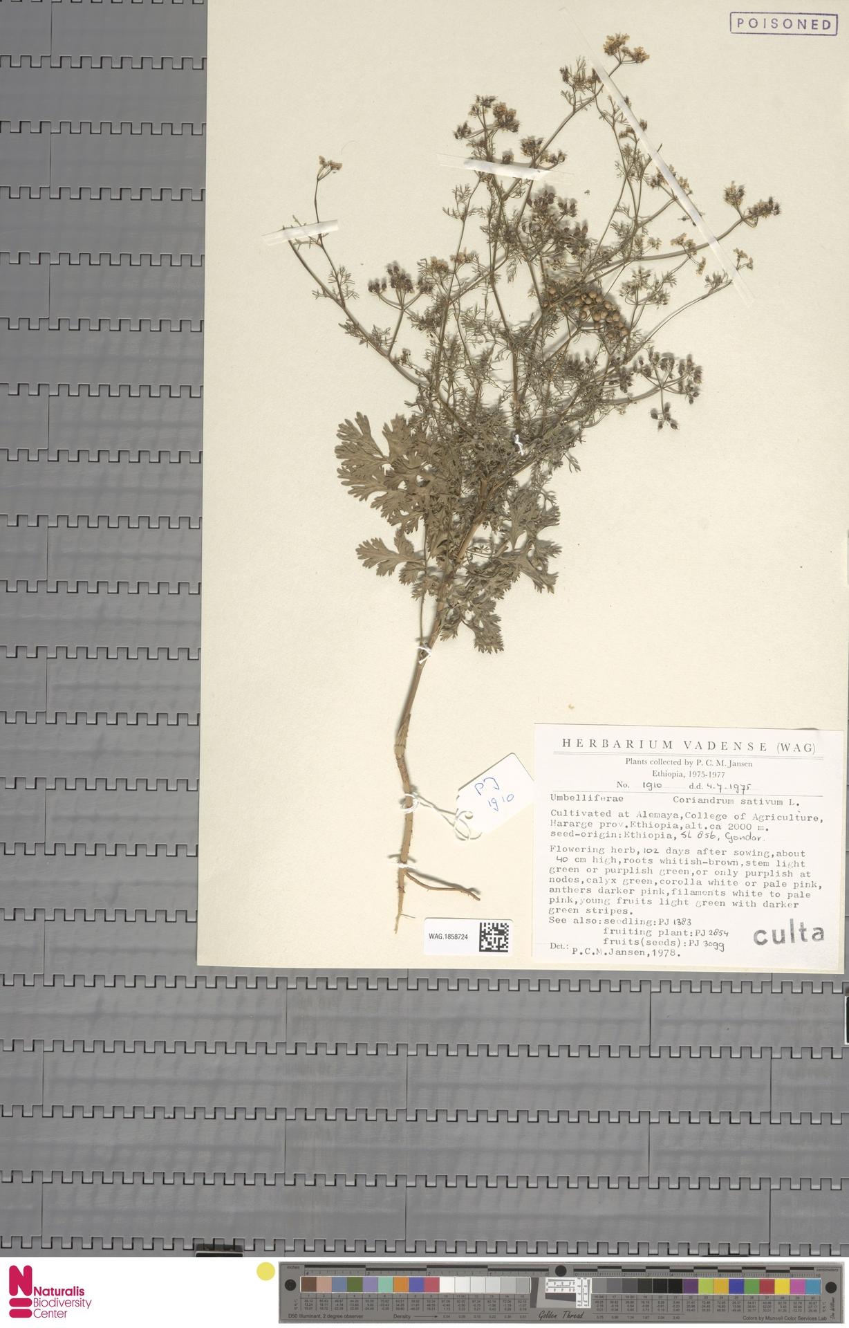 WAG.1858724 | Coriandrum sativum L.