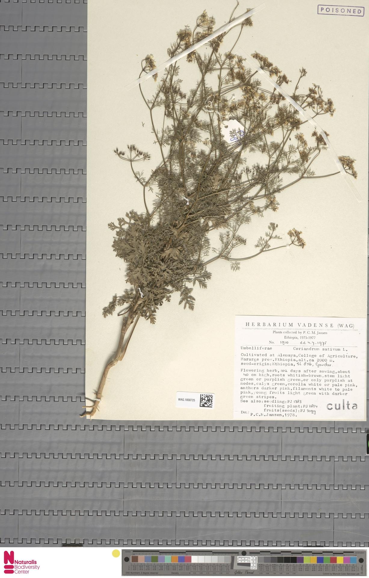 WAG.1858725 | Coriandrum sativum L.