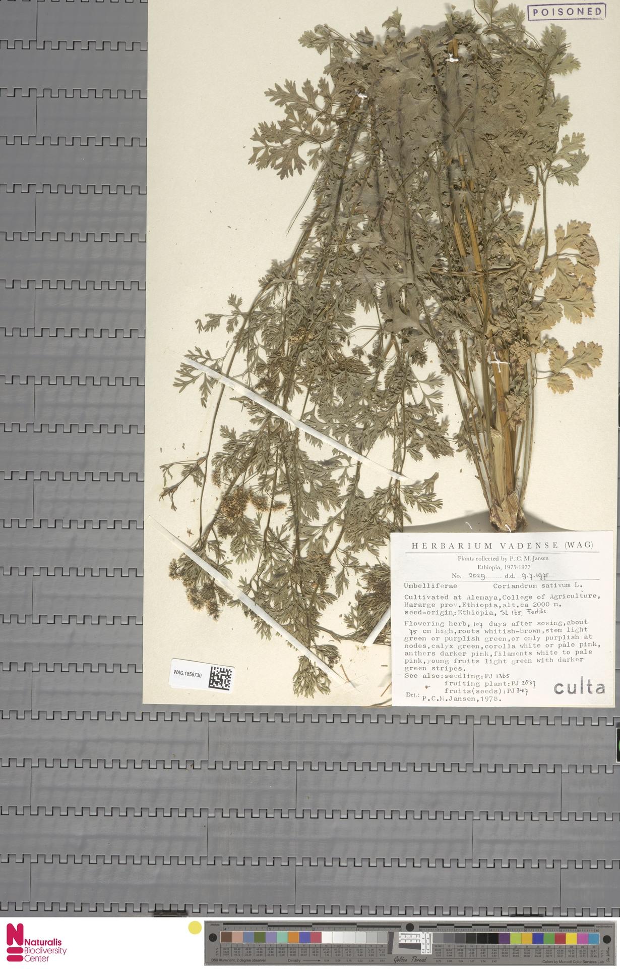 WAG.1858730 | Coriandrum sativum L.