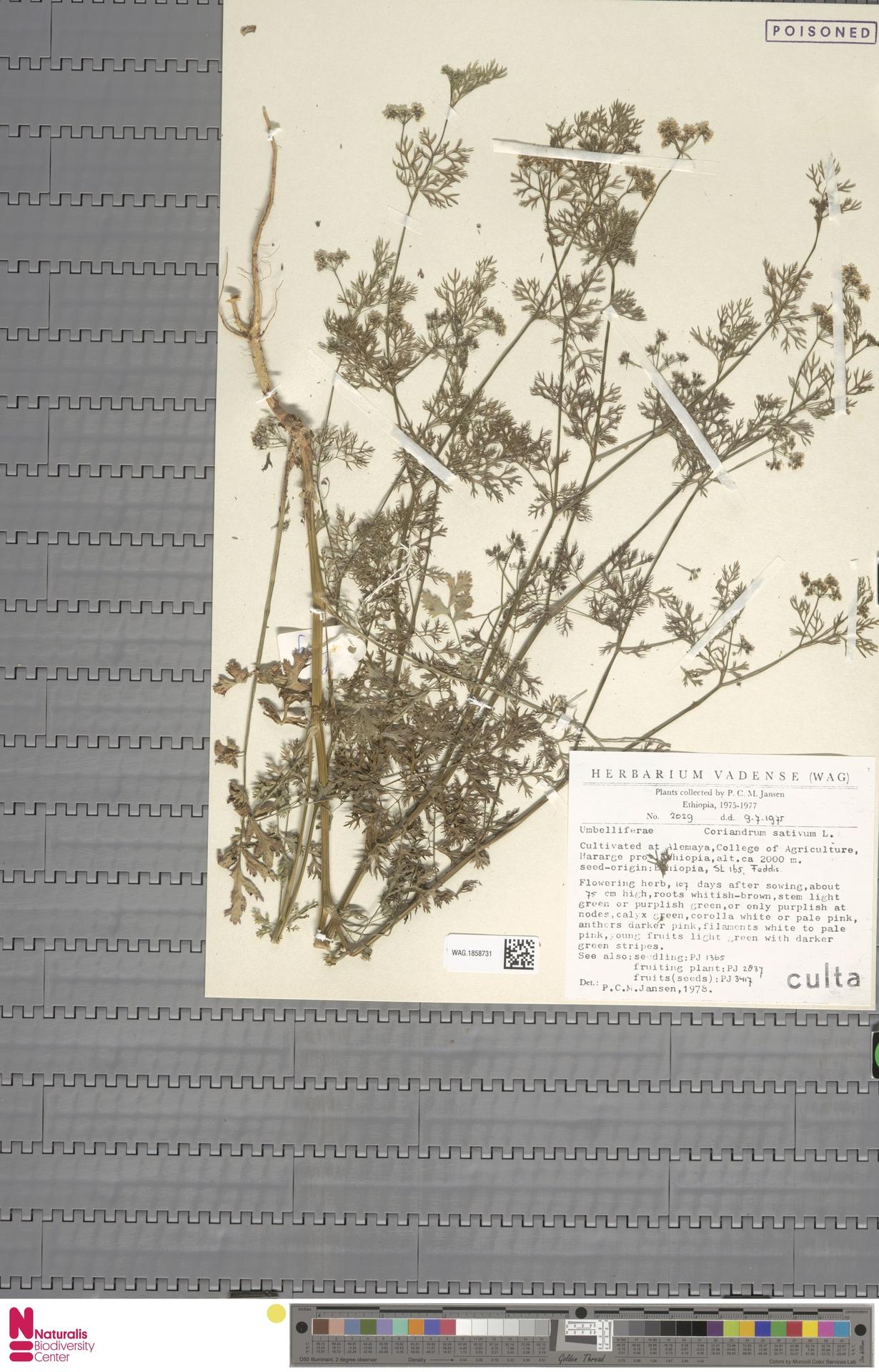 WAG.1858731 | Coriandrum sativum L.