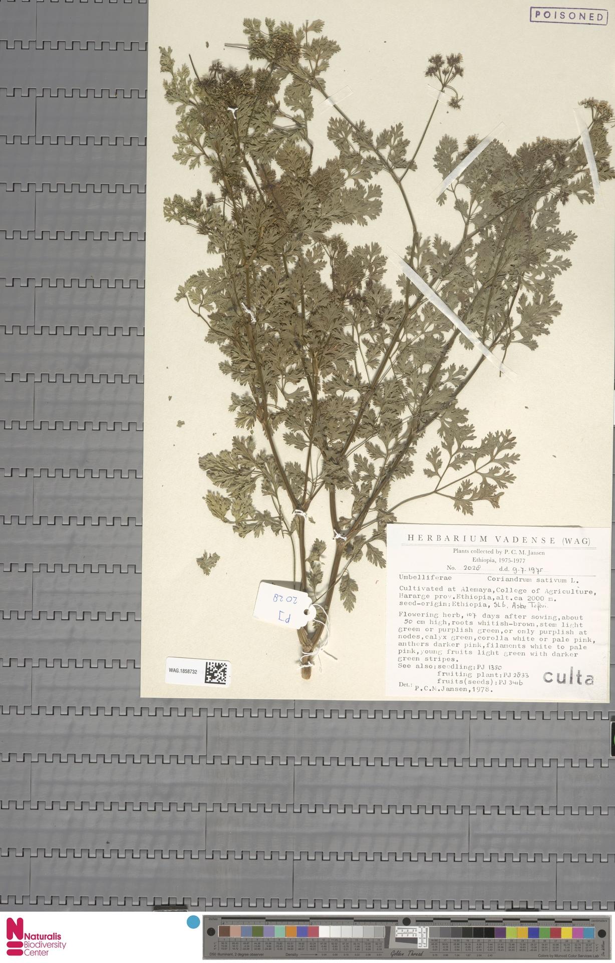 WAG.1858732 | Coriandrum sativum L.