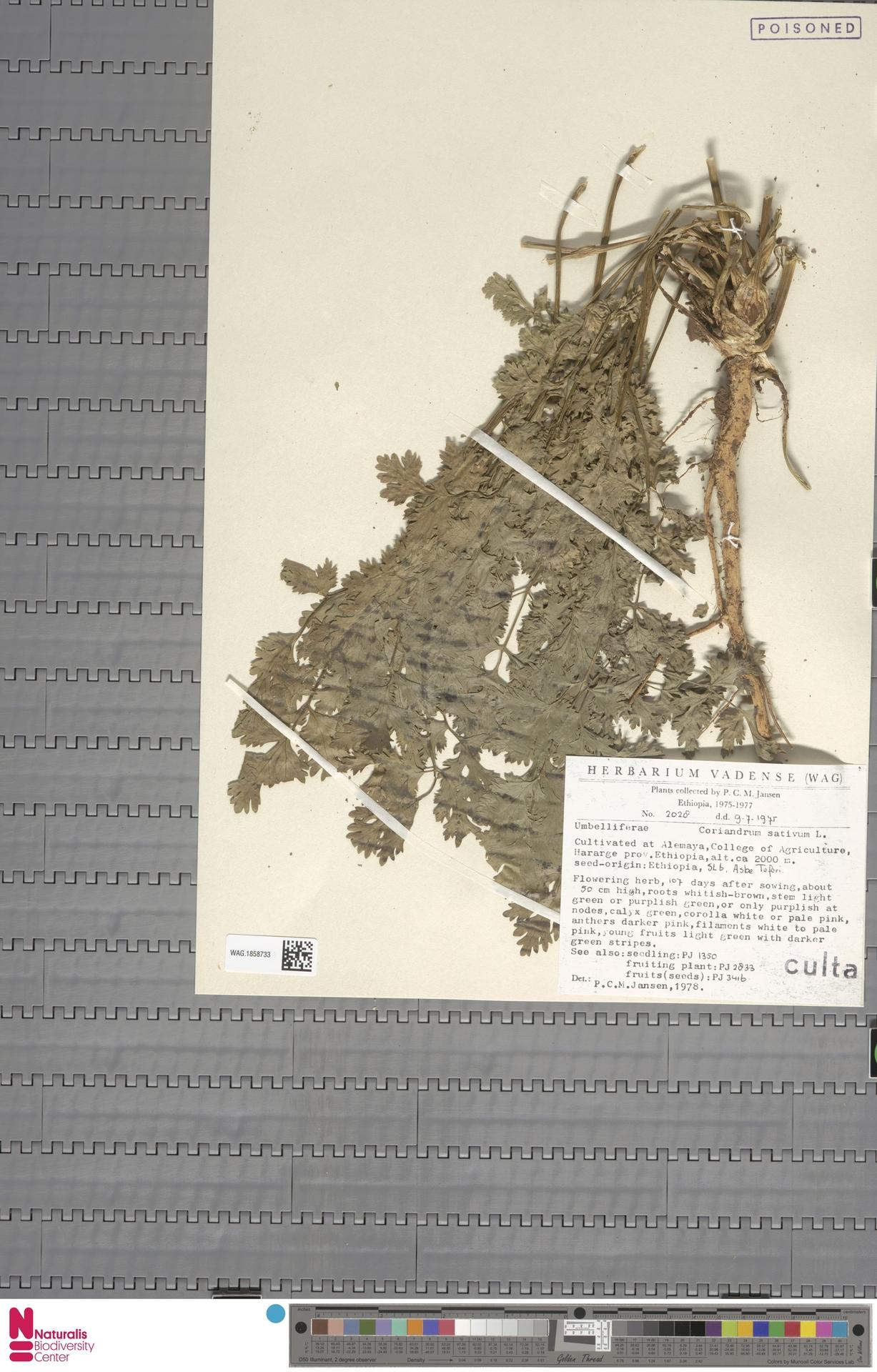 WAG.1858733 | Coriandrum sativum L.