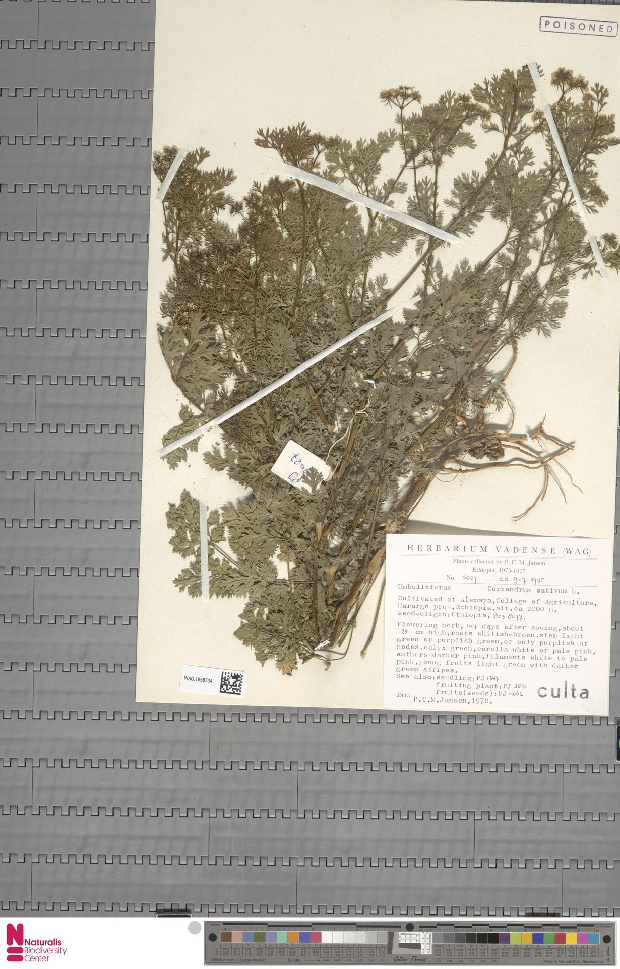 WAG.1858734 | Coriandrum sativum L.