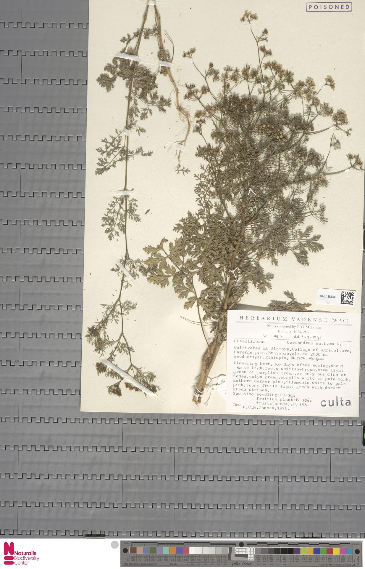 WAG.1858735   Coriandrum sativum L.