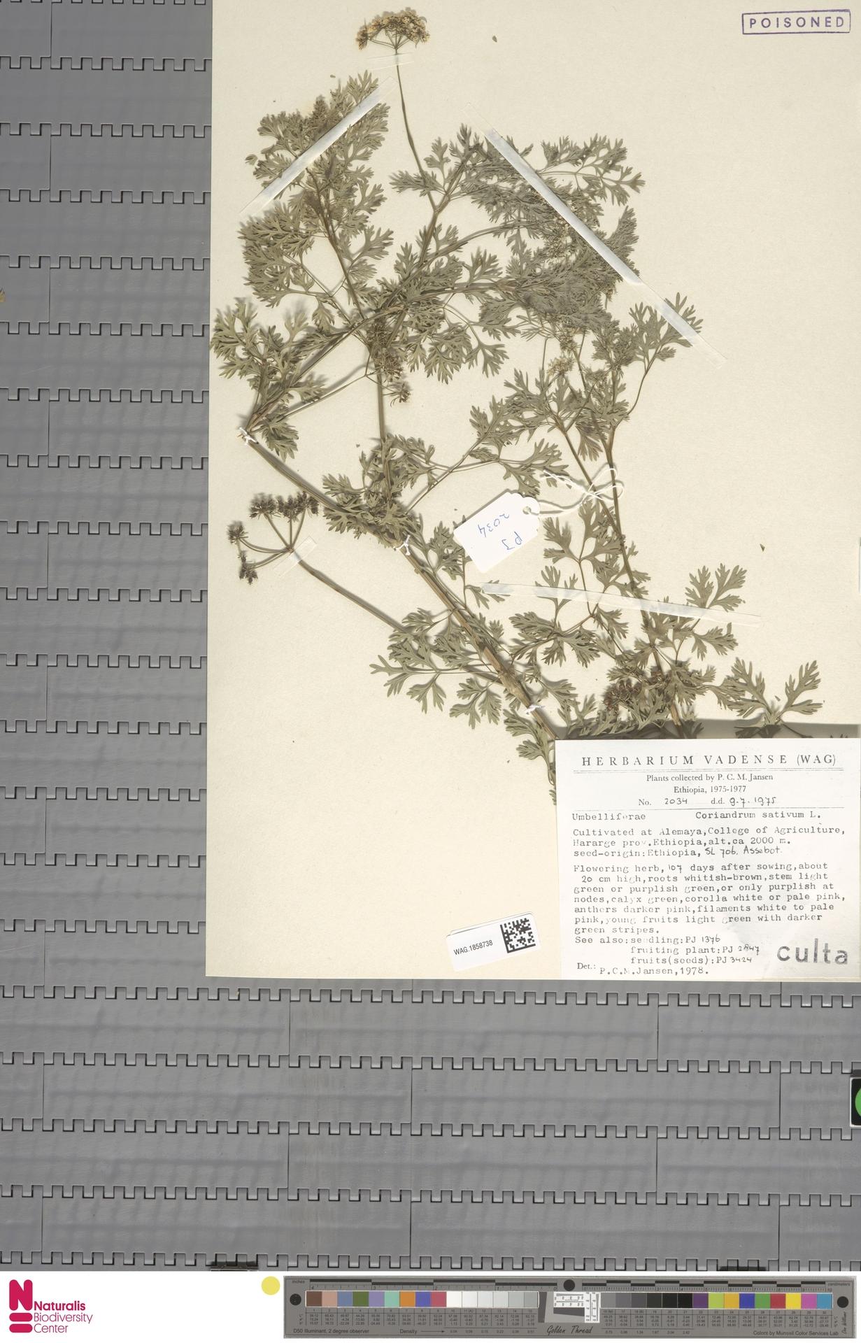 WAG.1858738 | Coriandrum sativum L.