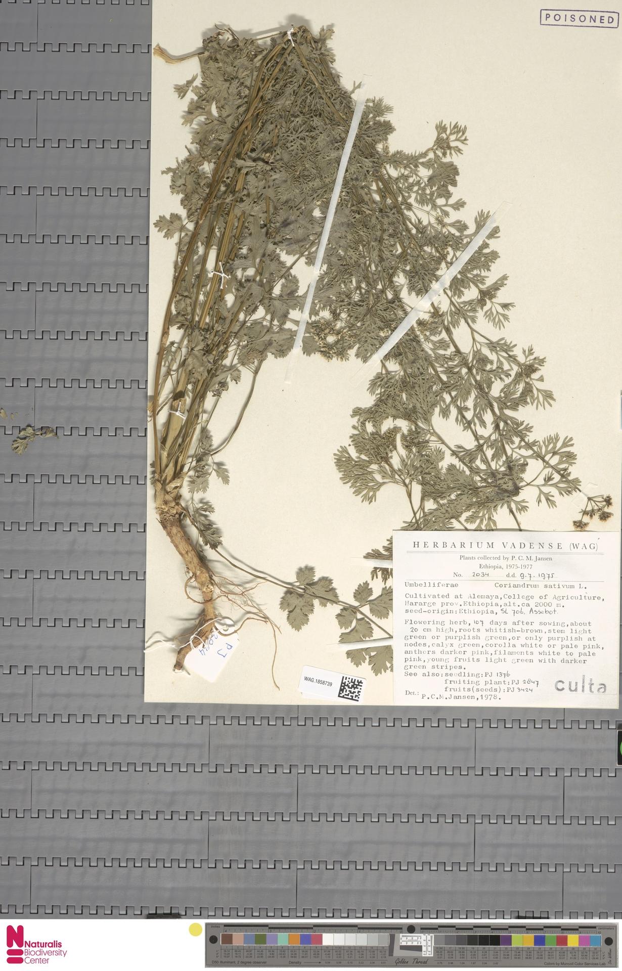 WAG.1858739 | Coriandrum sativum L.
