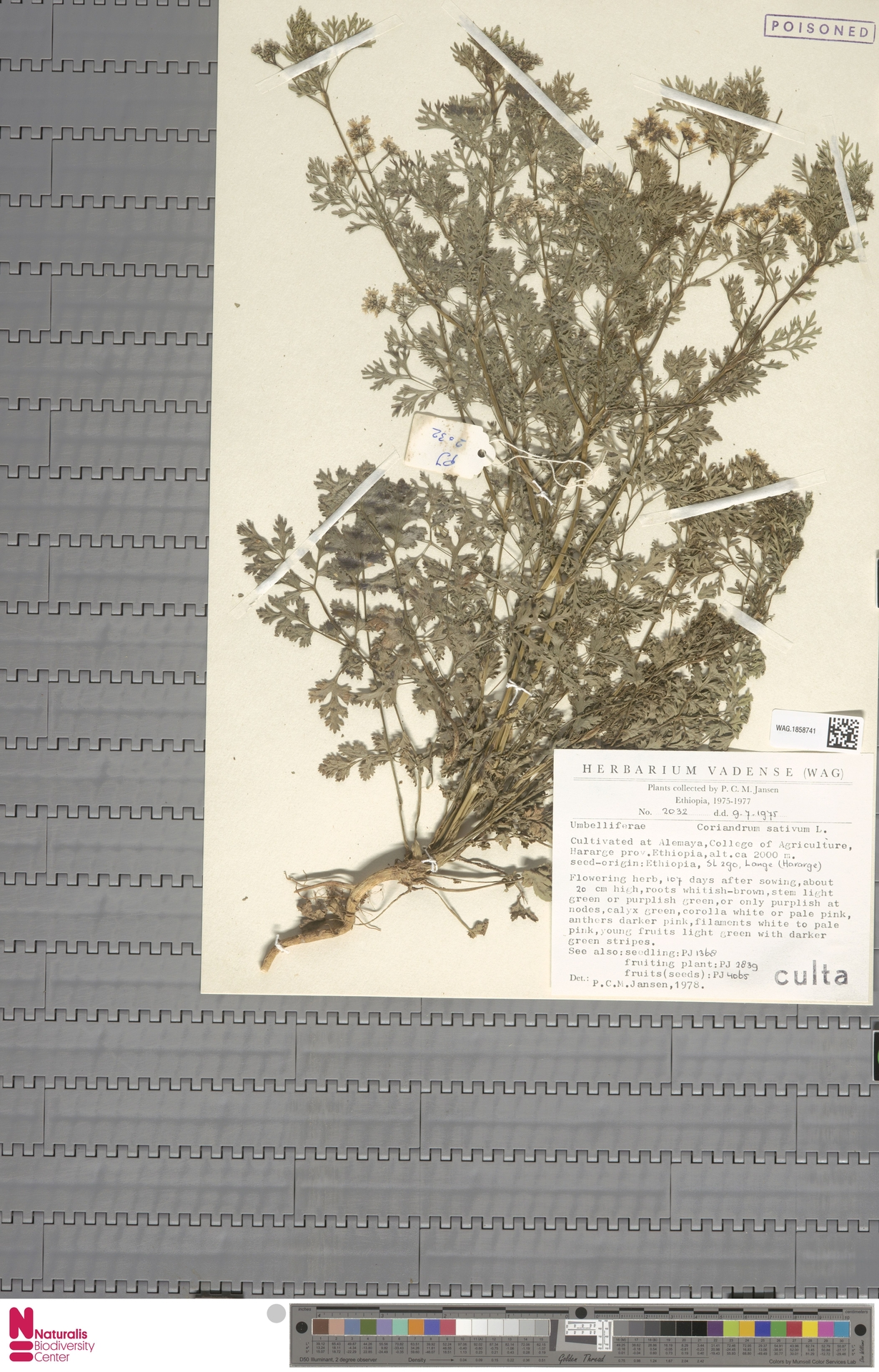 WAG.1858741 | Coriandrum sativum L.