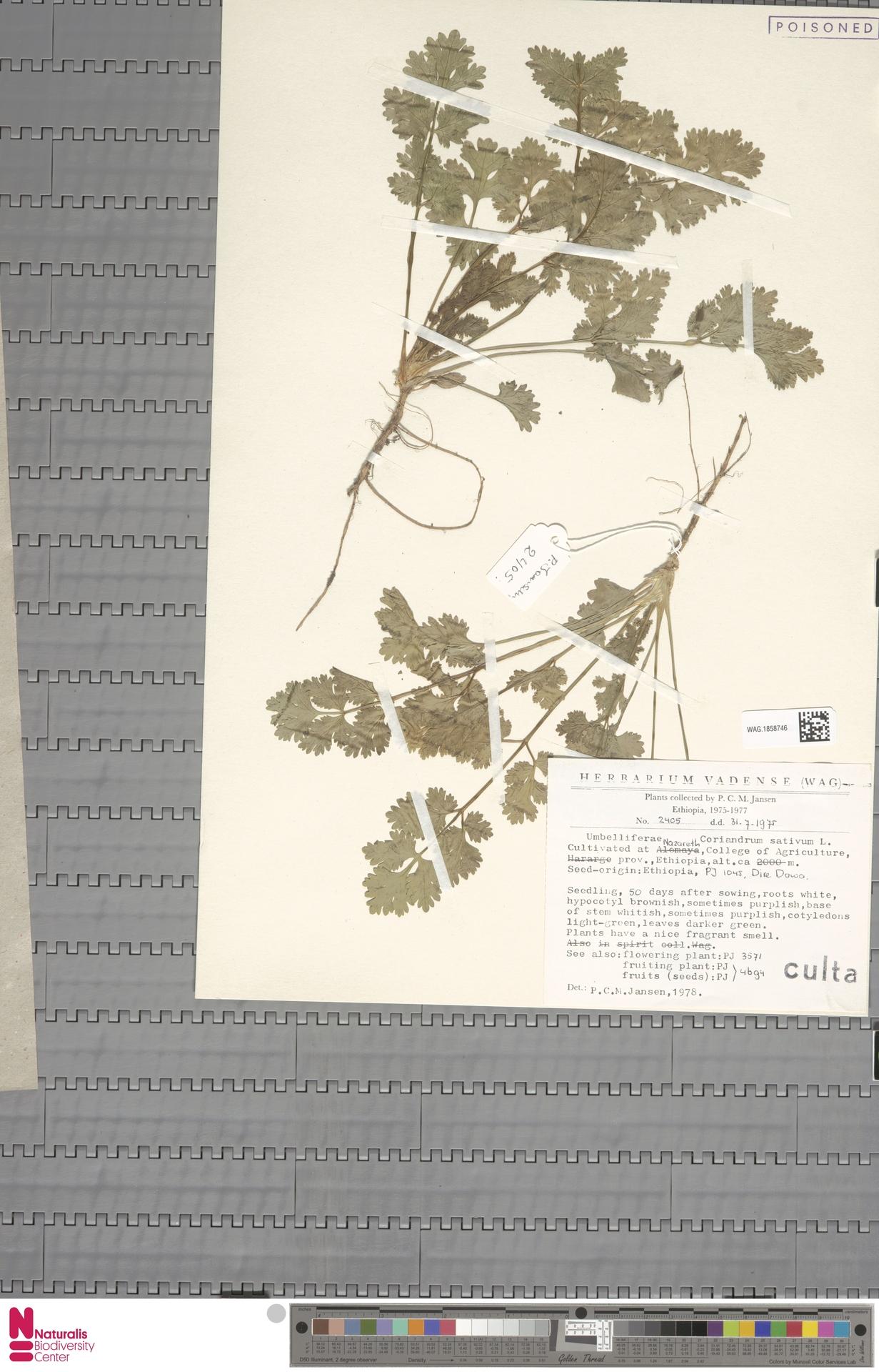 WAG.1858746 | Coriandrum sativum L.