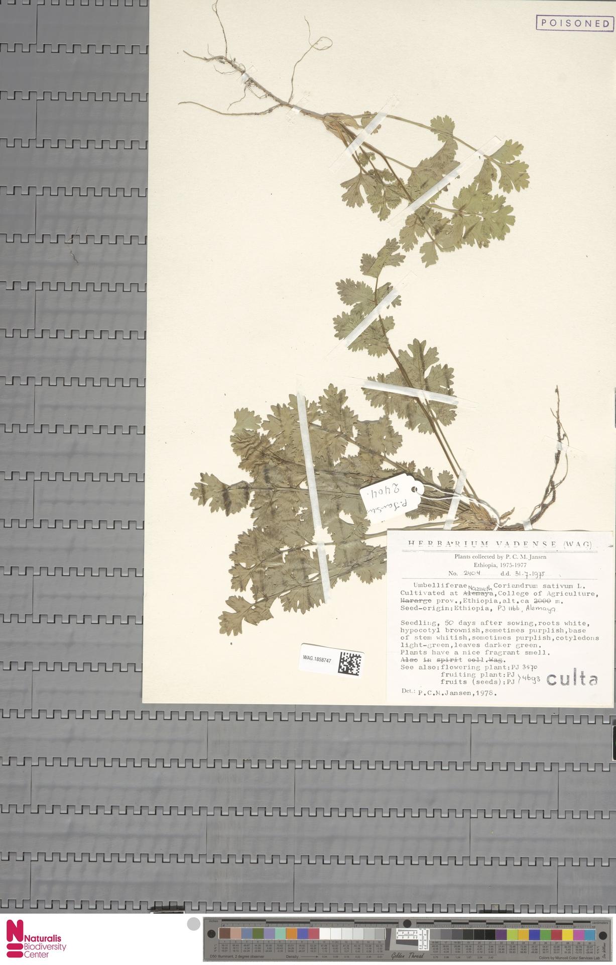 WAG.1858747 | Coriandrum sativum L.