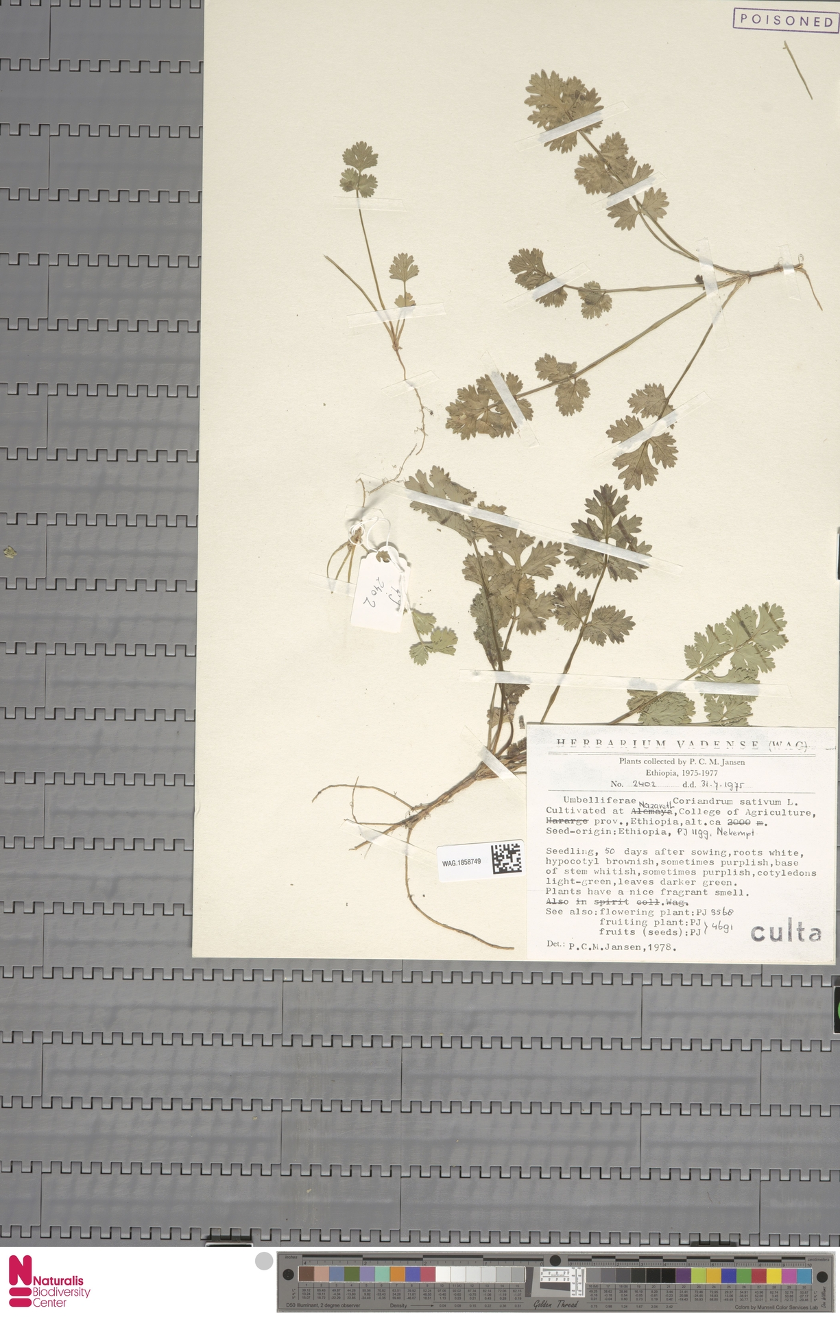 WAG.1858749 | Coriandrum sativum L.