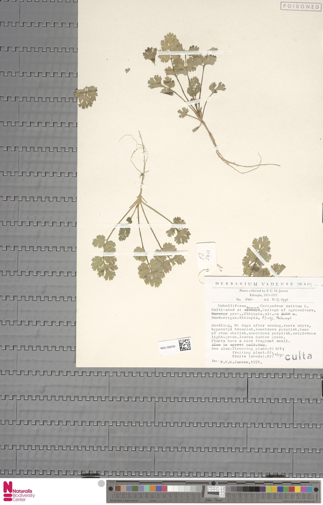 WAG.1858750   Coriandrum sativum L.