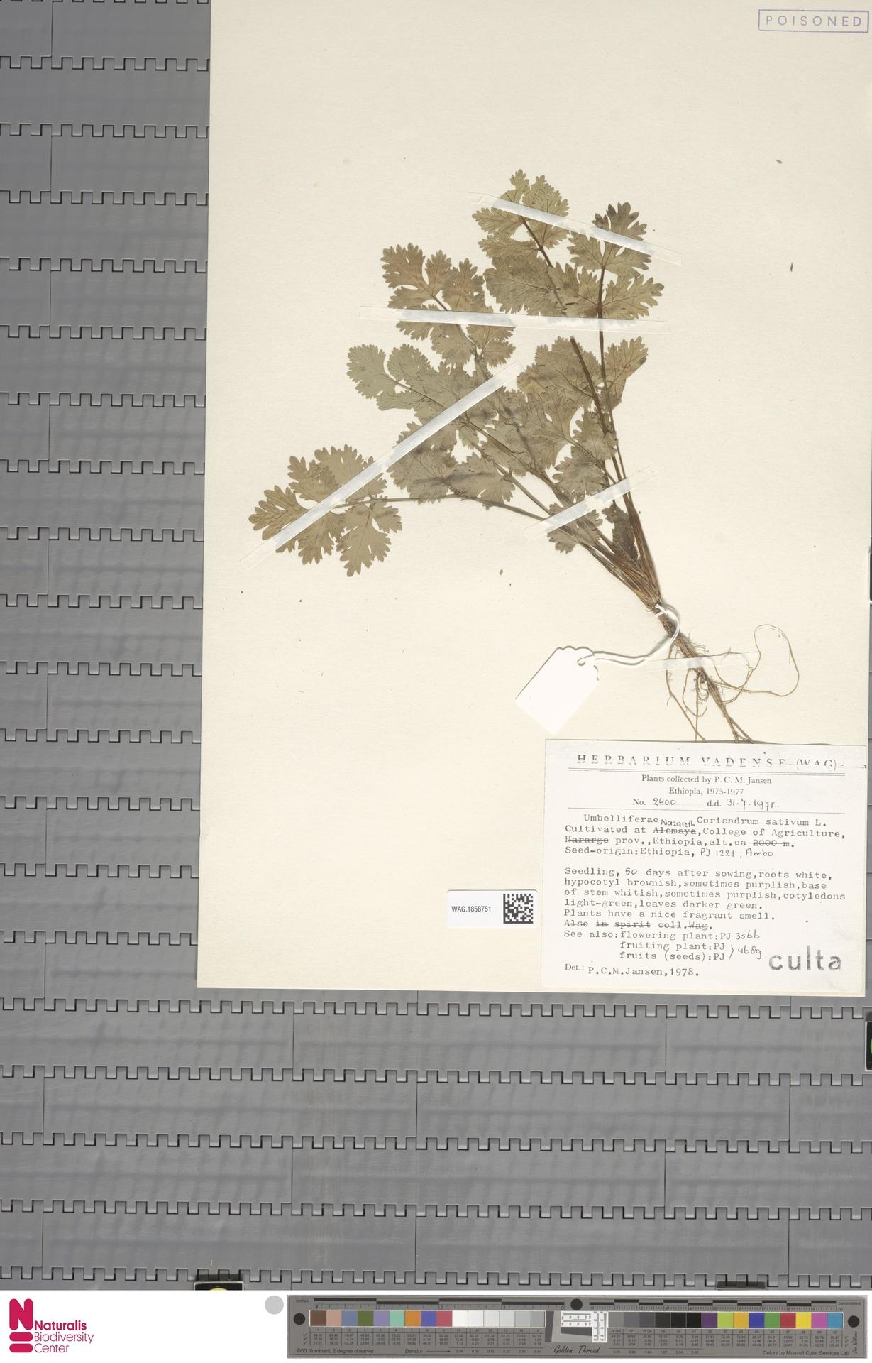 WAG.1858751 | Coriandrum sativum L.
