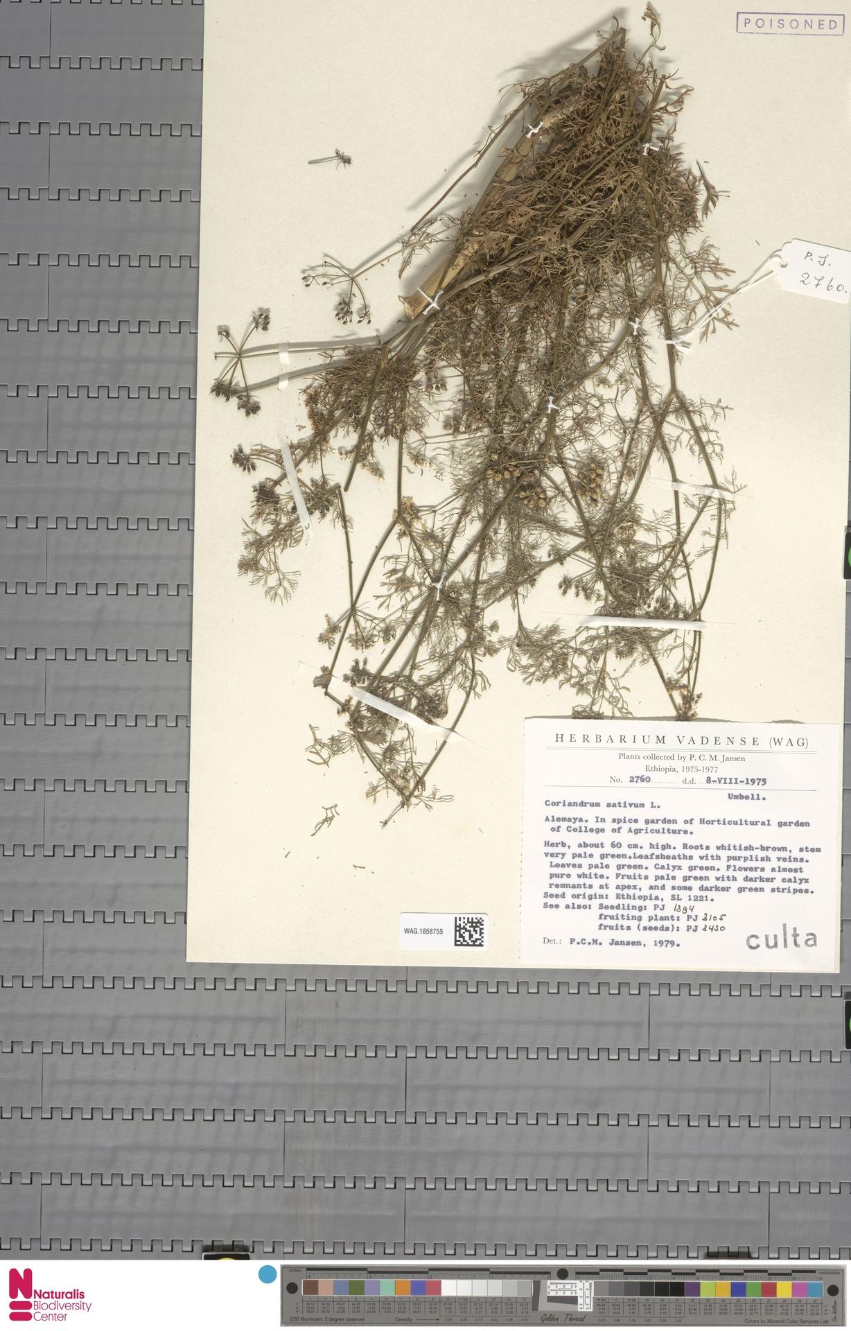 WAG.1858755   Coriandrum sativum L.