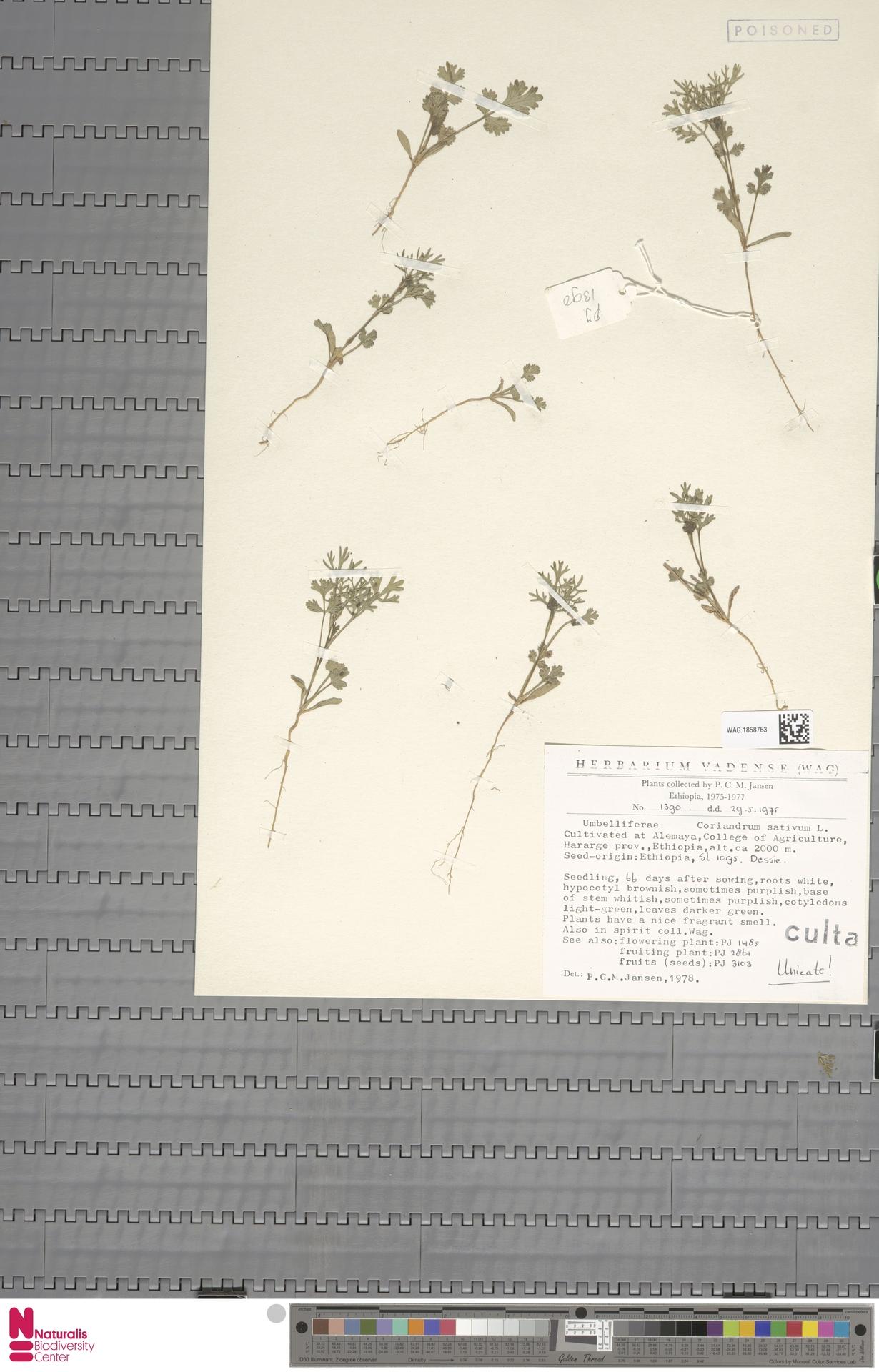 WAG.1858763 | Coriandrum sativum L.