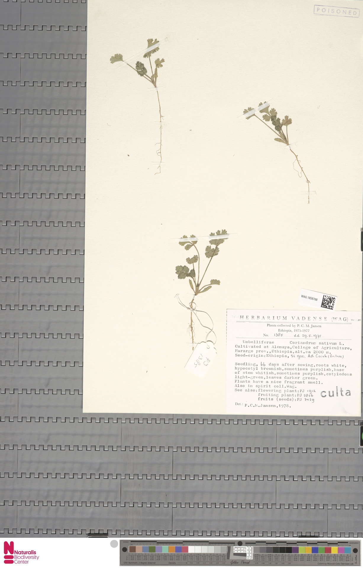 WAG.1858768   Coriandrum sativum L.