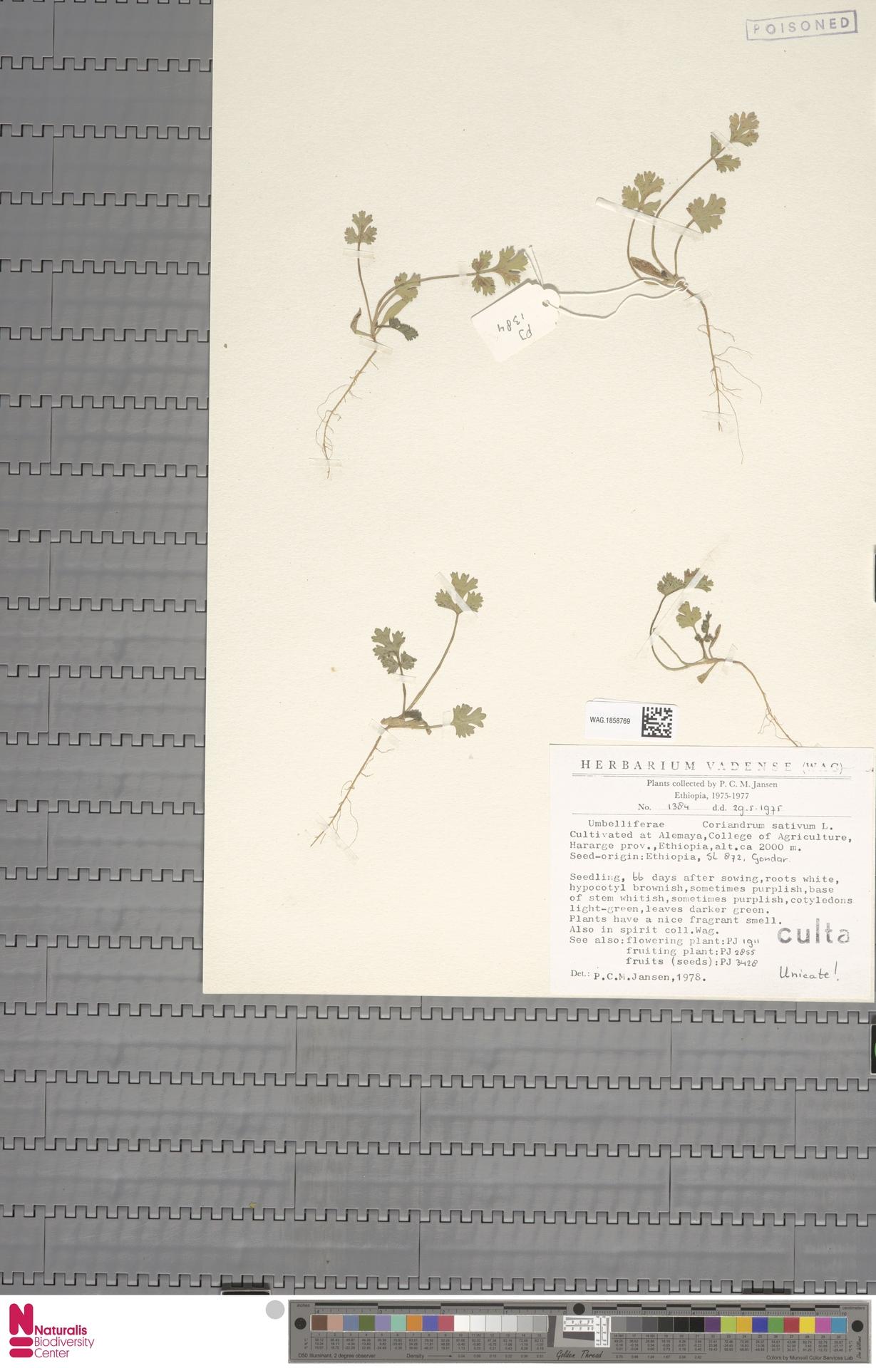 WAG.1858769 | Coriandrum sativum L.
