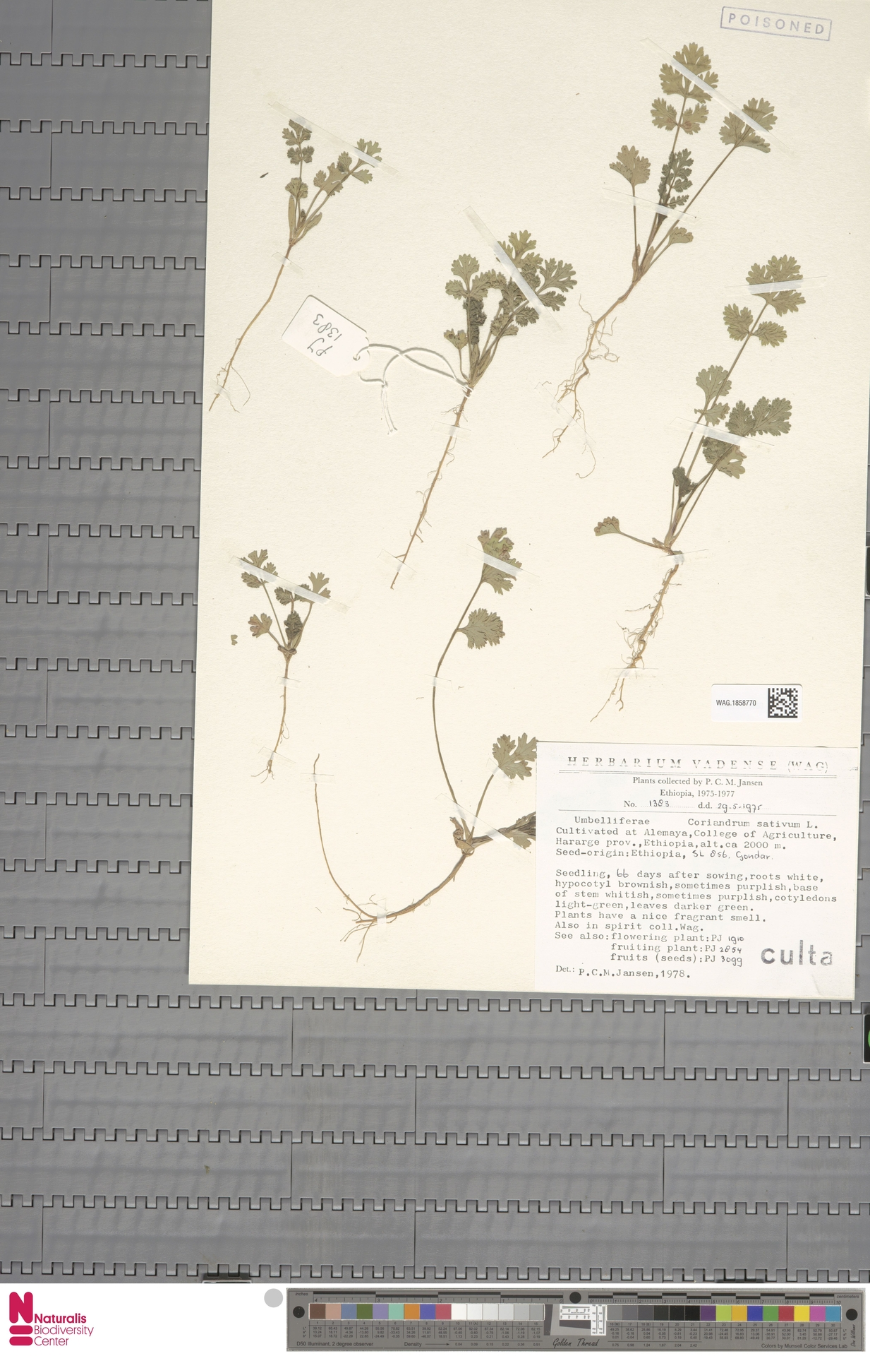 WAG.1858770 | Coriandrum sativum L.