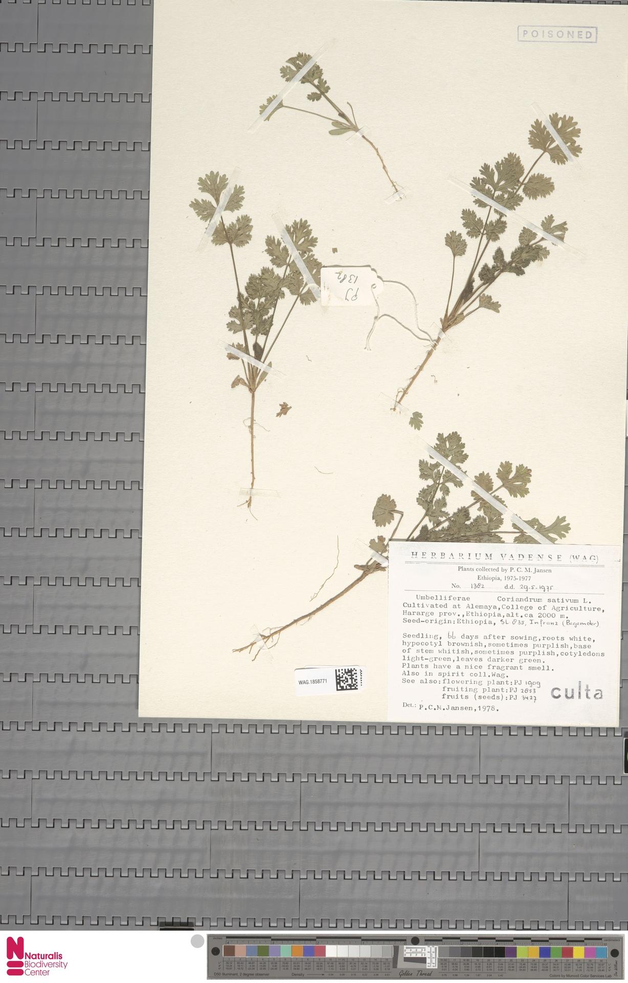 WAG.1858771 | Coriandrum sativum L.