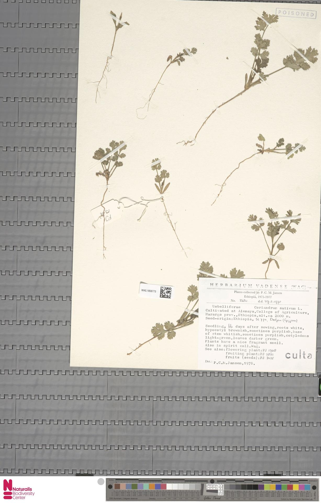 WAG.1858773 | Coriandrum sativum L.