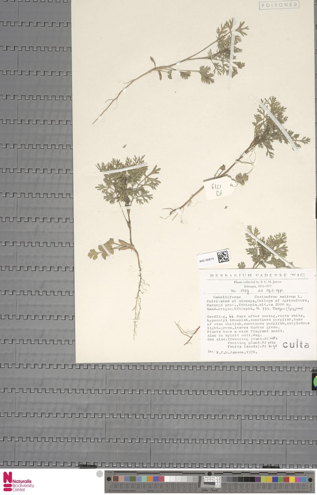 WAG.1858774 | Coriandrum sativum L.