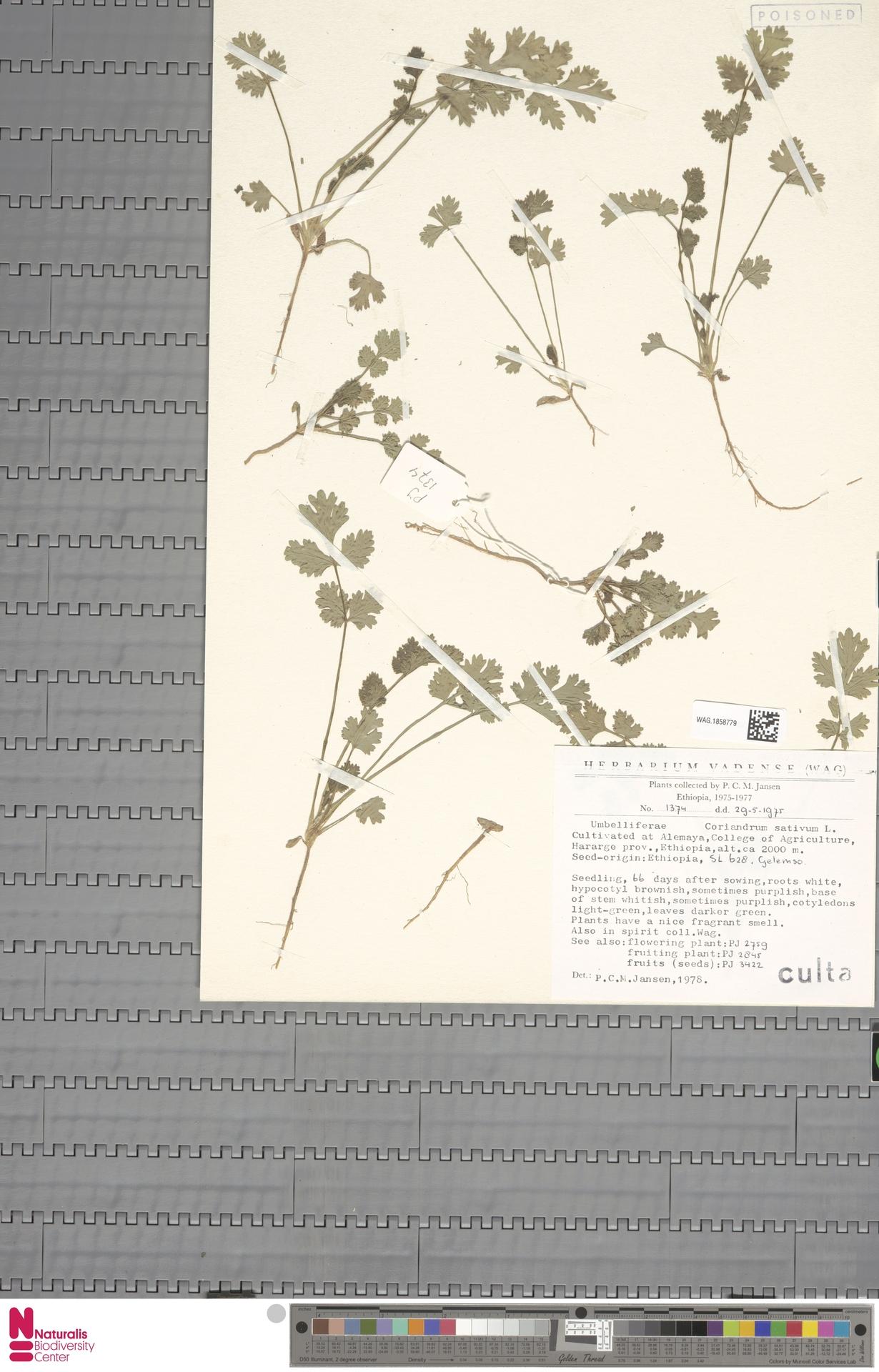 WAG.1858779 | Coriandrum sativum L.
