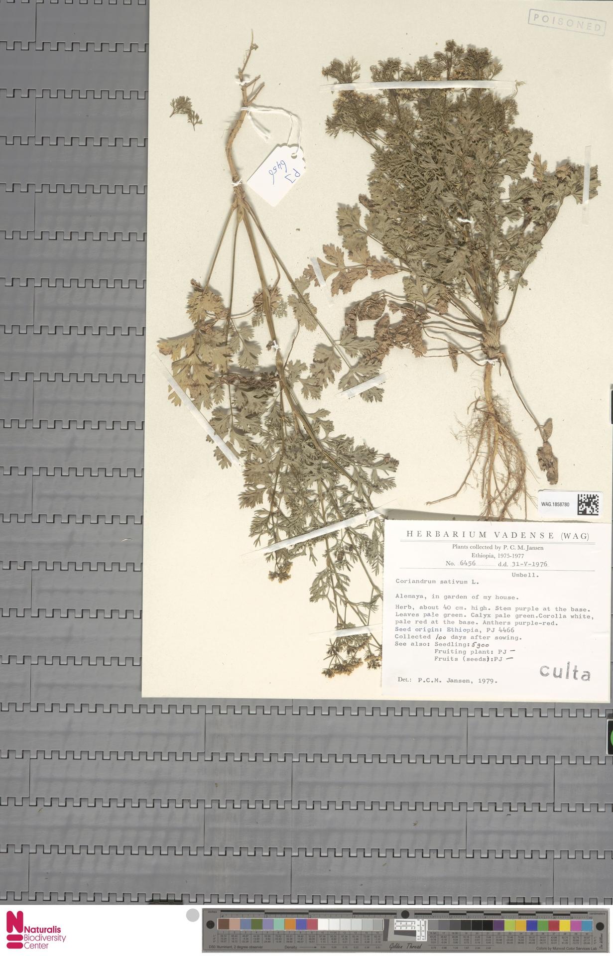 WAG.1858780 | Coriandrum sativum L.