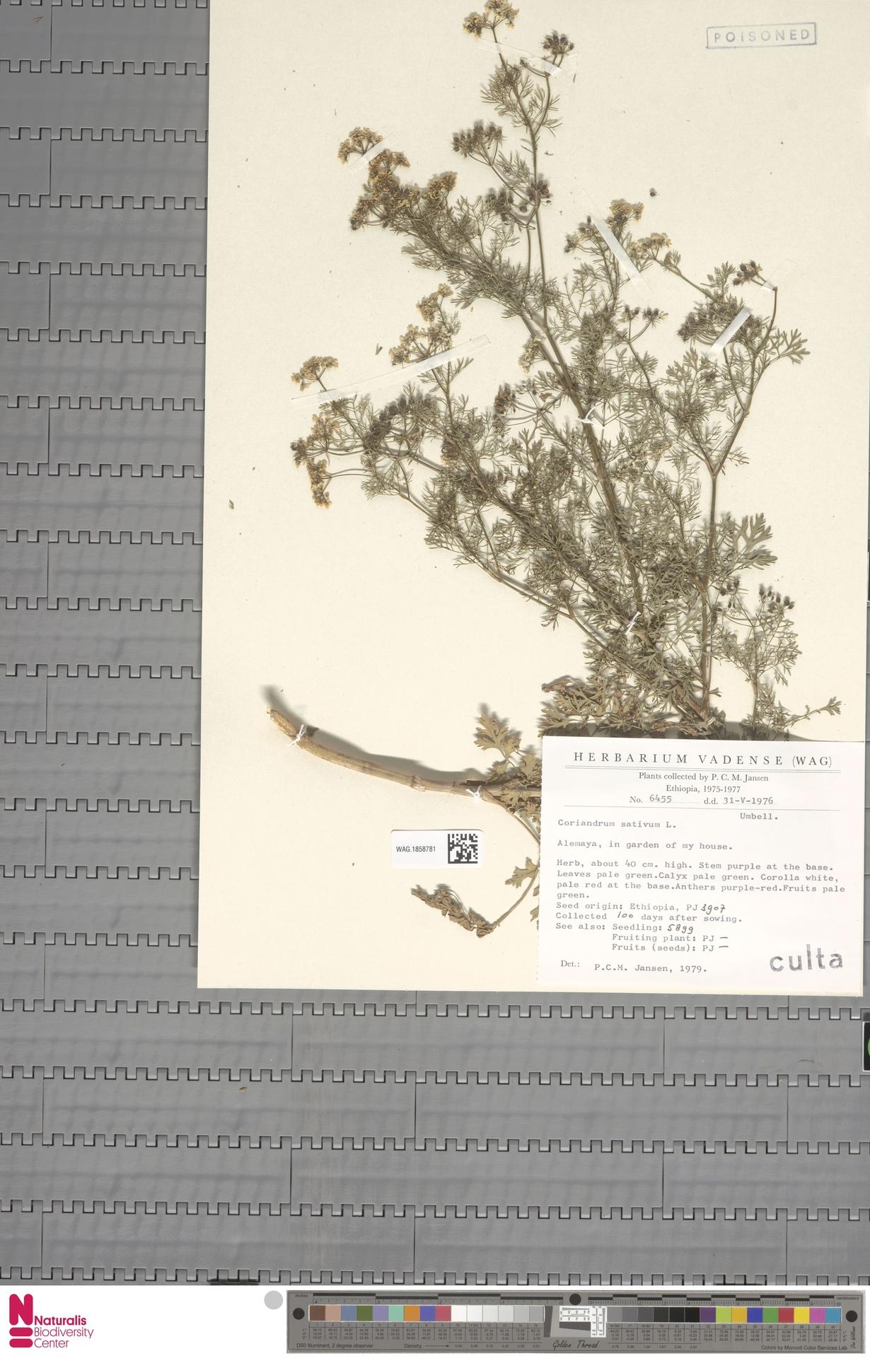 WAG.1858781 | Coriandrum sativum L.