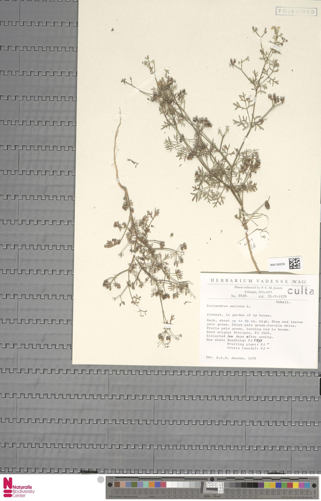 WAG.1858782 | Coriandrum sativum L.
