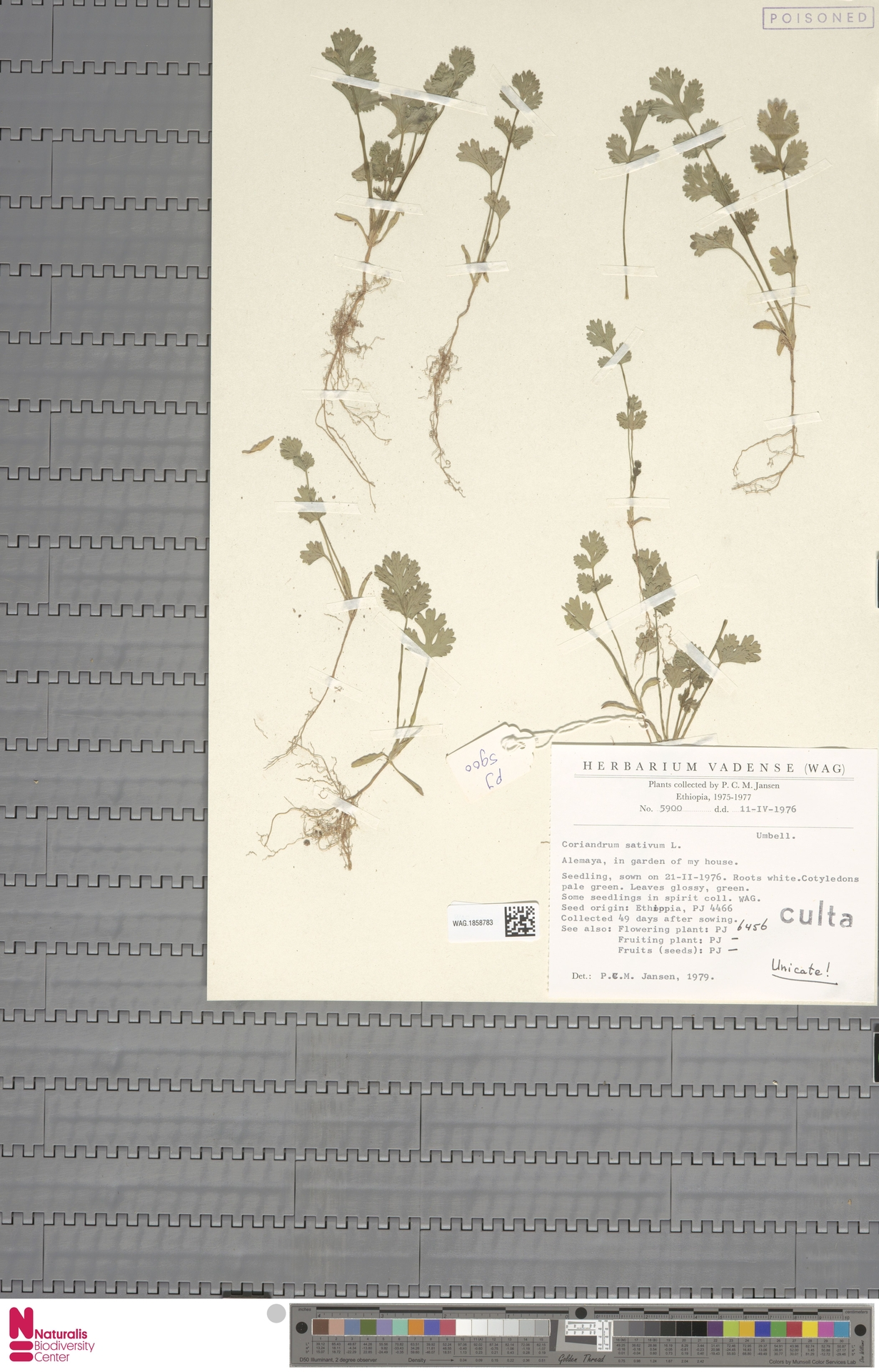WAG.1858783 | Coriandrum sativum L.