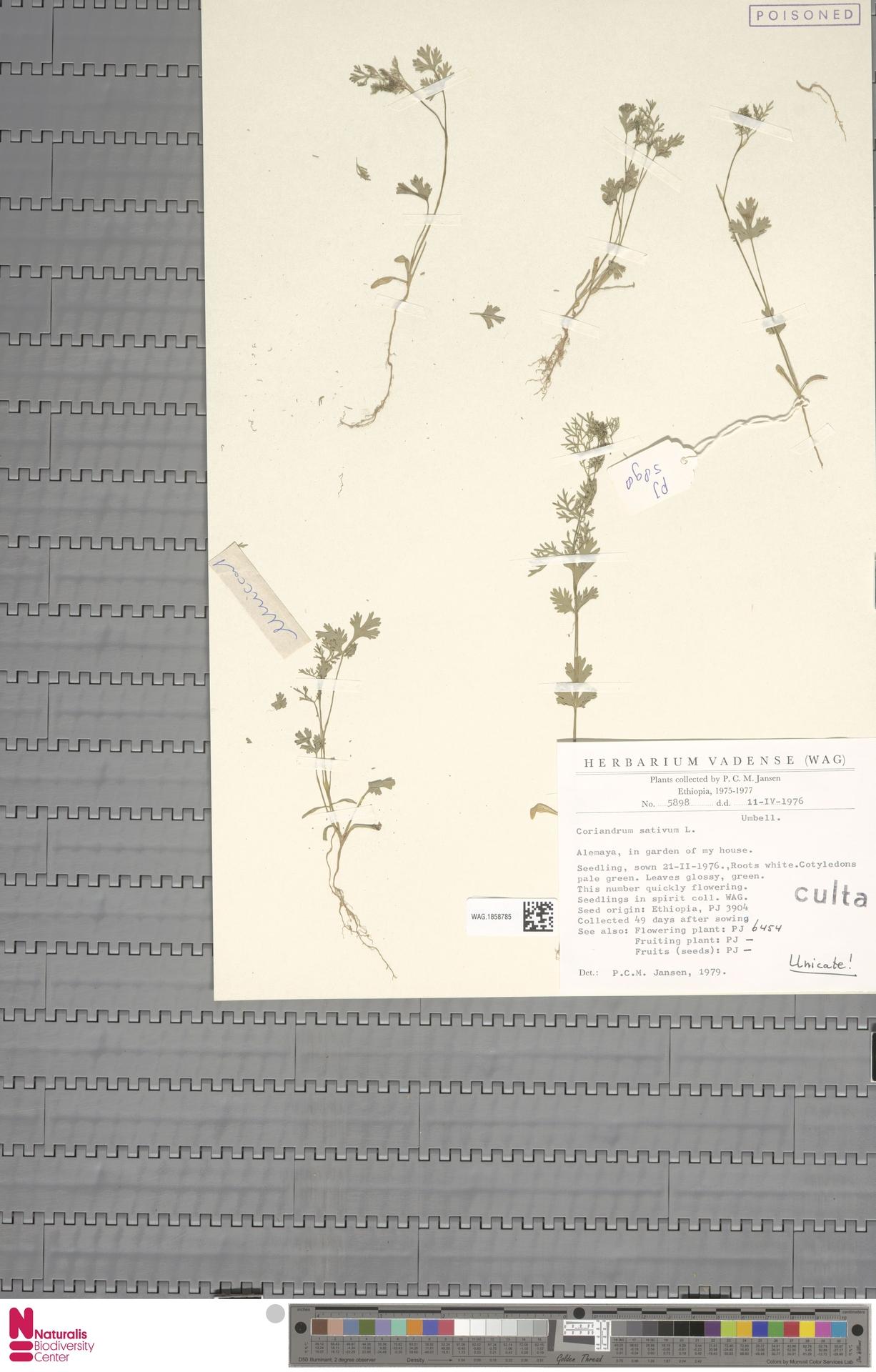 WAG.1858785 | Coriandrum sativum L.