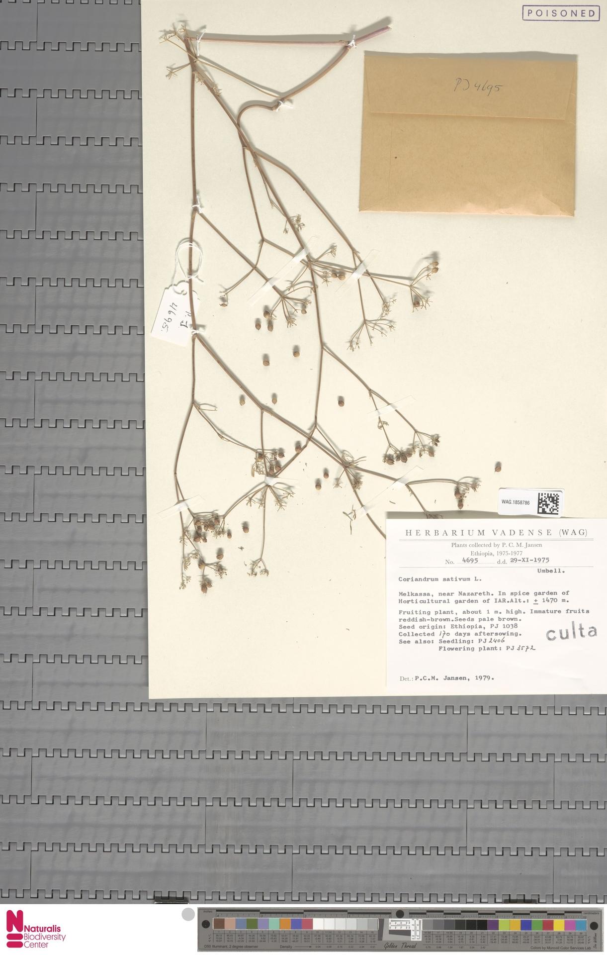 WAG.1858786 | Coriandrum sativum L.