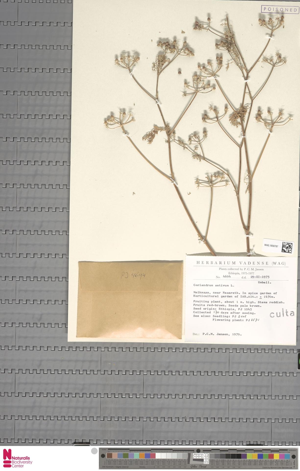 WAG.1858787 | Coriandrum sativum L.