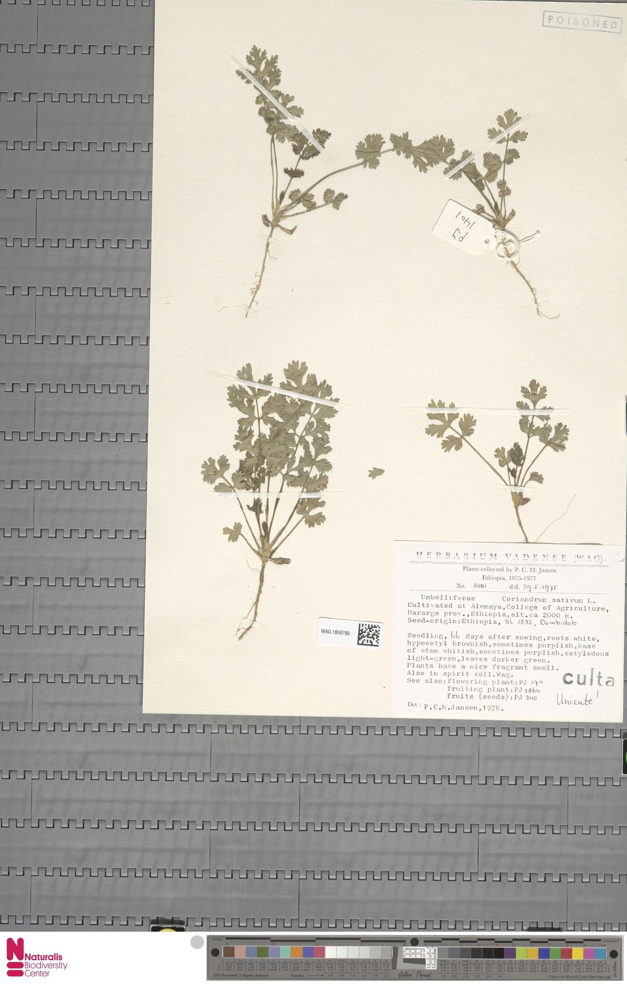 WAG.1858790 | Coriandrum sativum L.