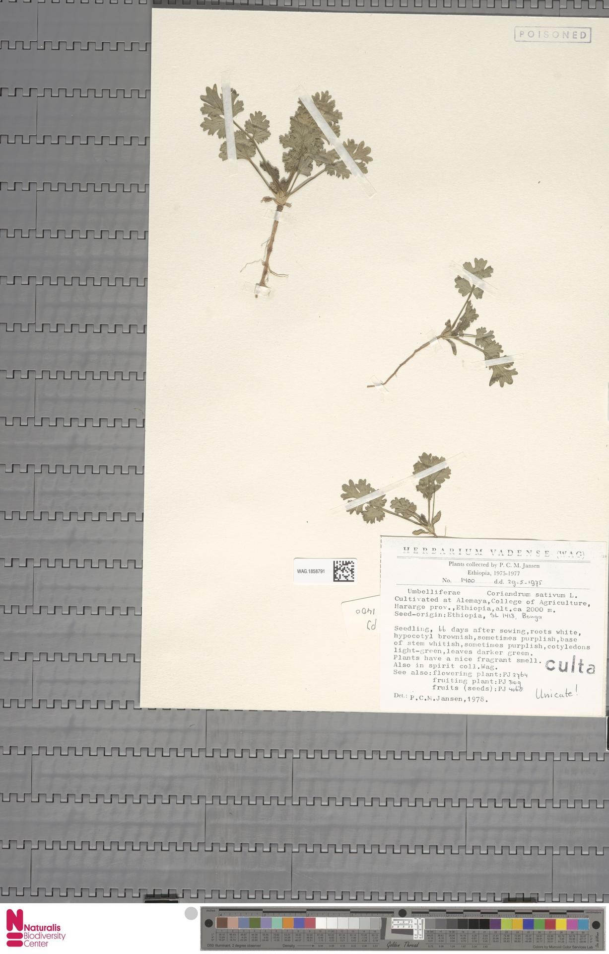 WAG.1858791   Coriandrum sativum L.