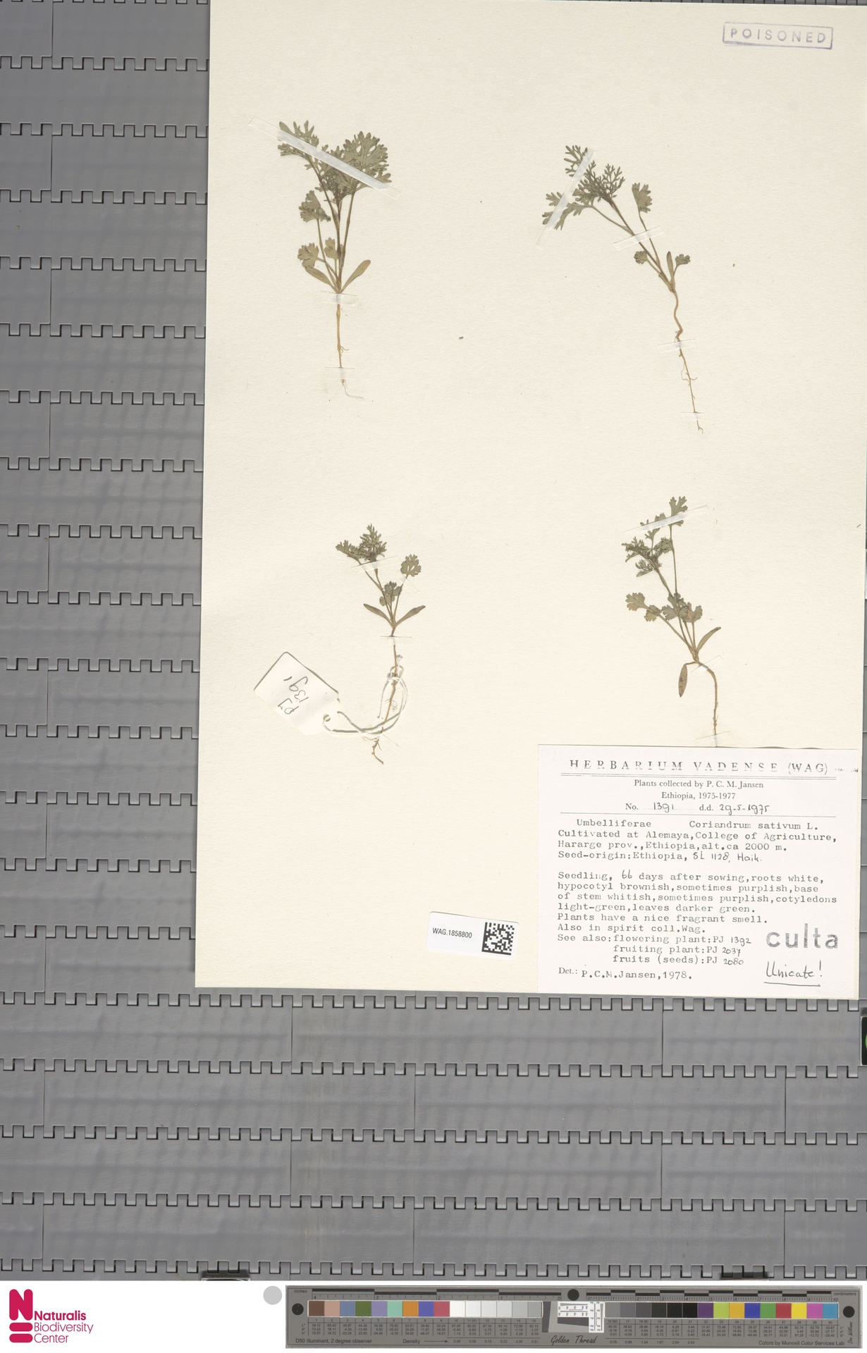 WAG.1858800 | Coriandrum sativum L.
