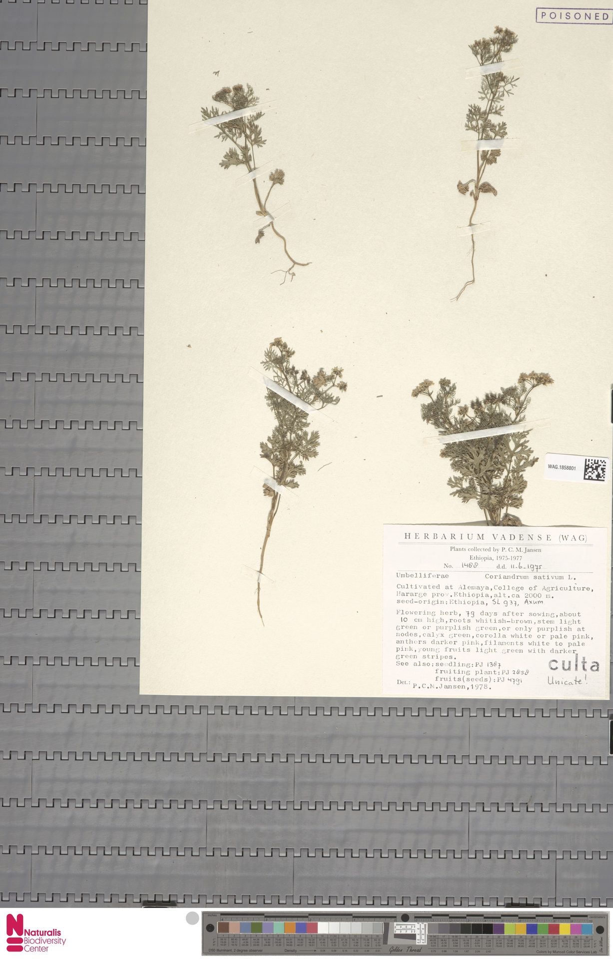 WAG.1858801 | Coriandrum sativum L.