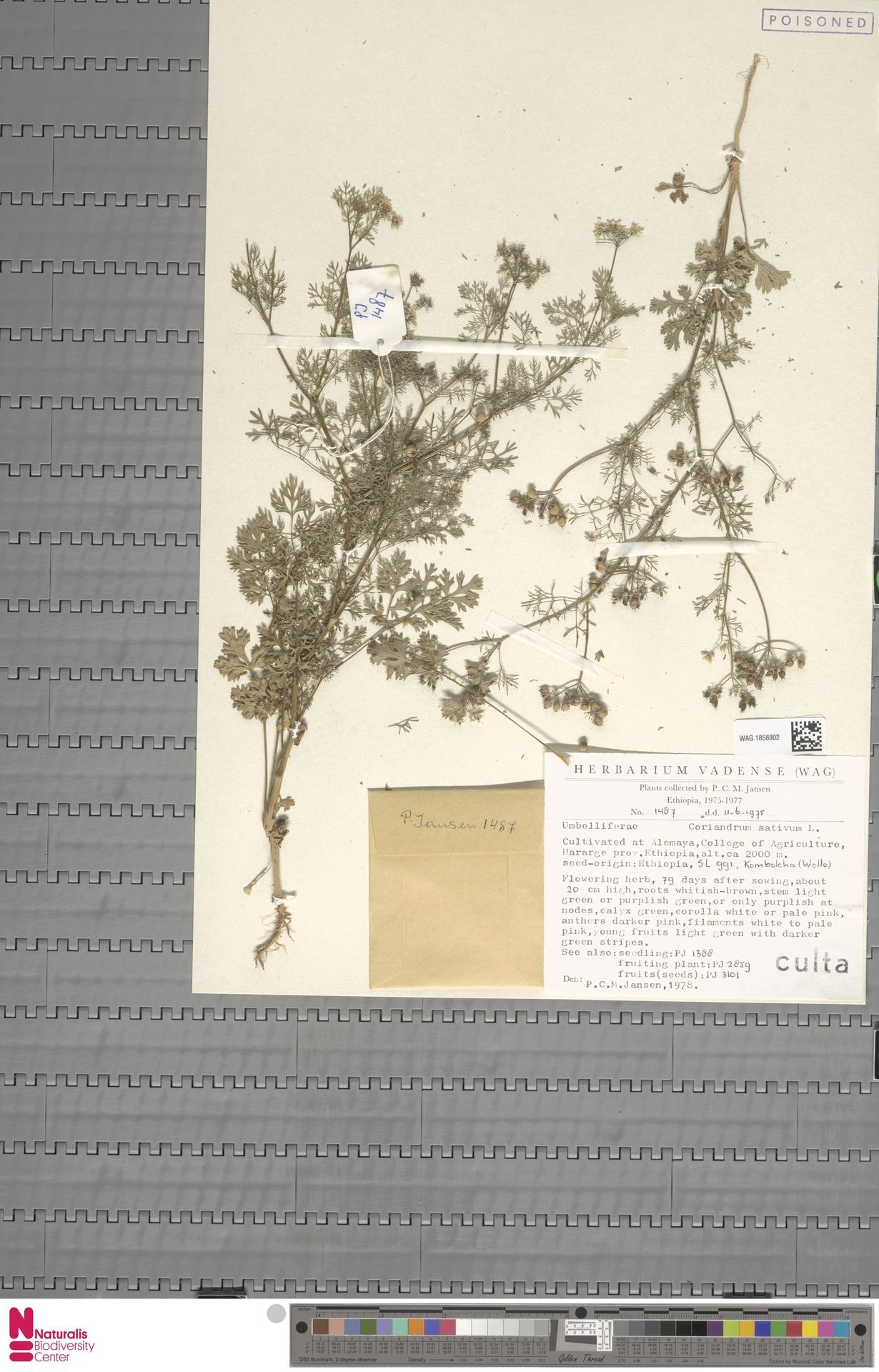 WAG.1858802 | Coriandrum sativum L.