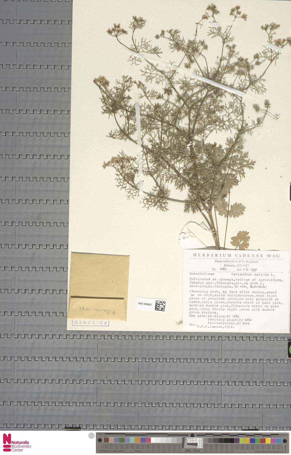 WAG.1858803 | Coriandrum sativum L.